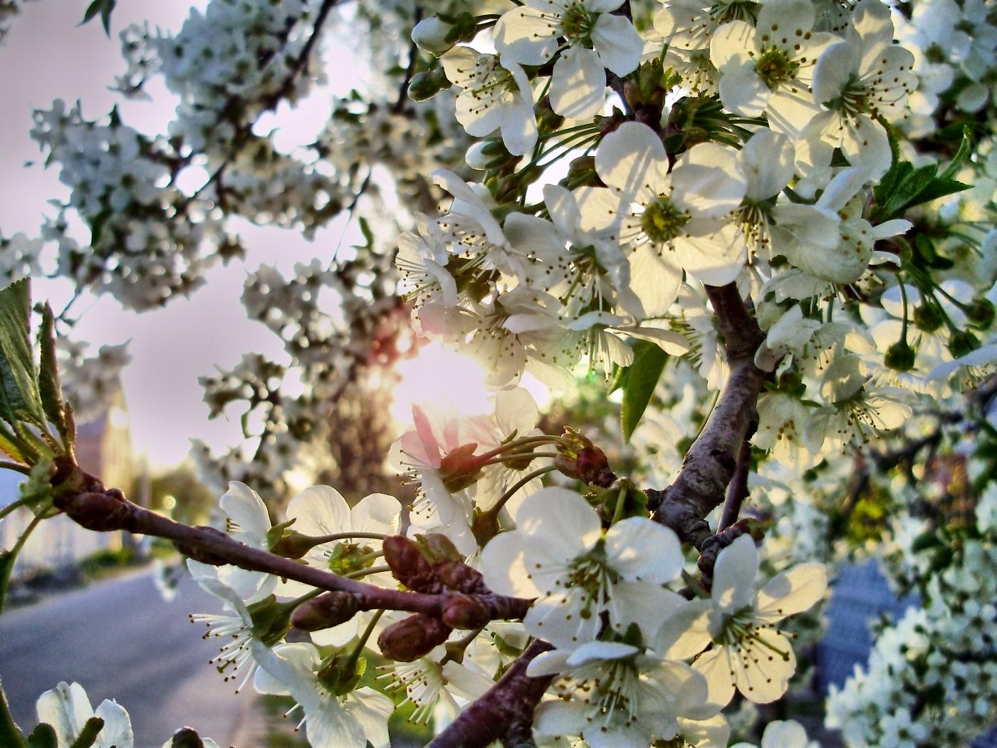 26028 скачать обои Растения, Цветы, Деревья - заставки и картинки бесплатно