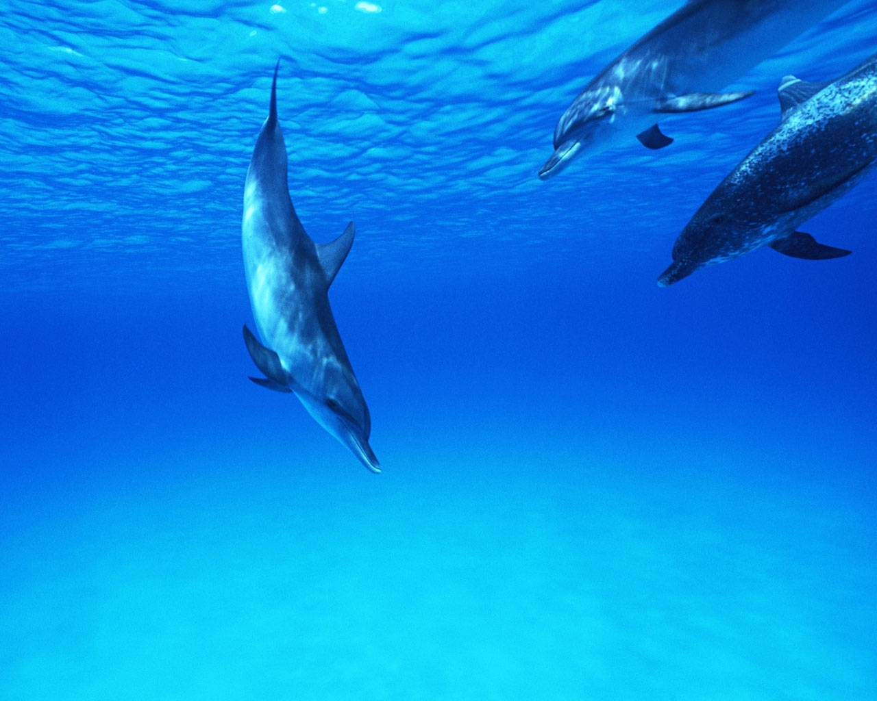 295 download wallpaper Animals, Water, Dolfins, Sea, Fishes screensavers and pictures for free