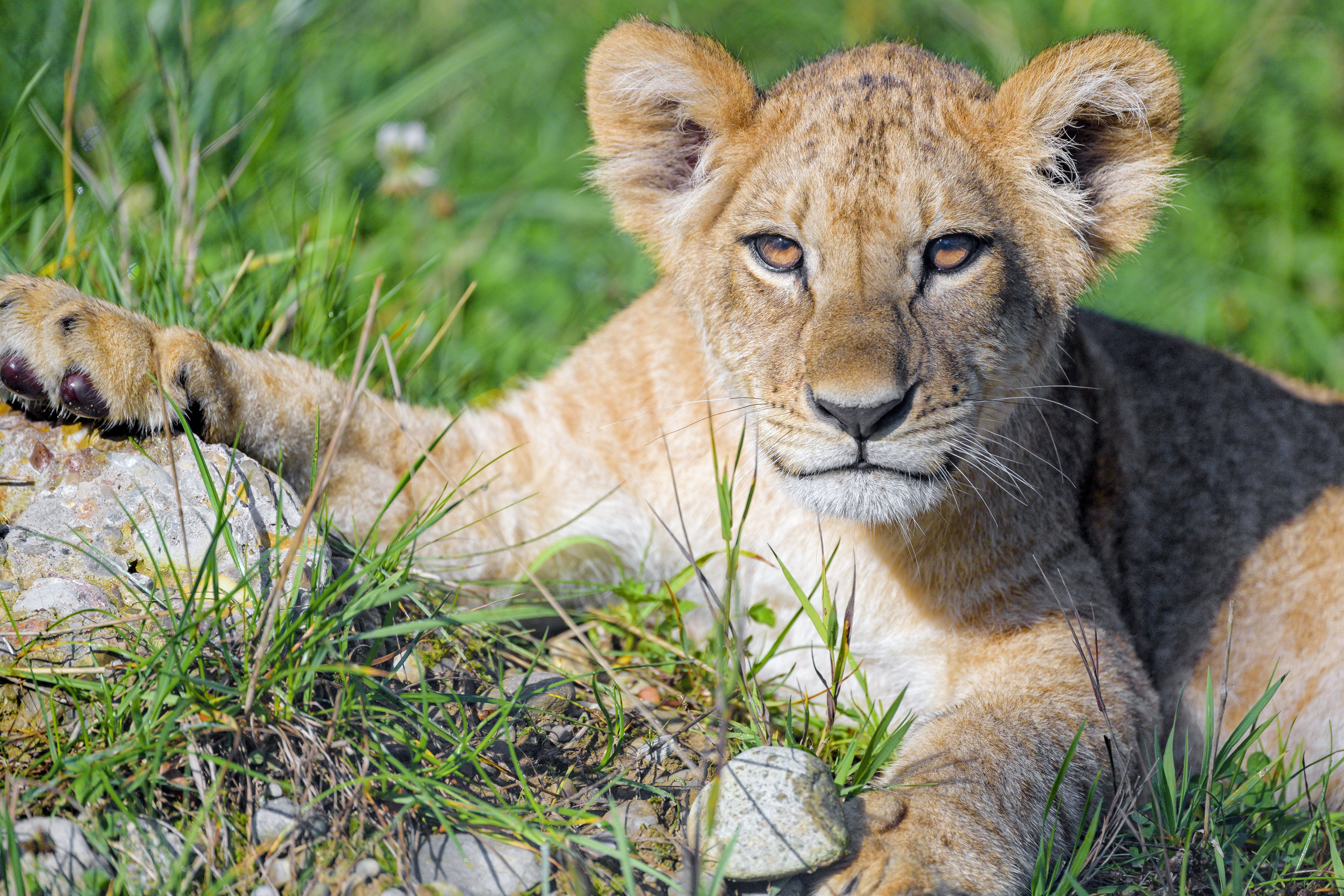 126470 download wallpaper Animals, Lion Cub, Lion, Young, Joey, Sight, Opinion, Predator, Cat screensavers and pictures for free