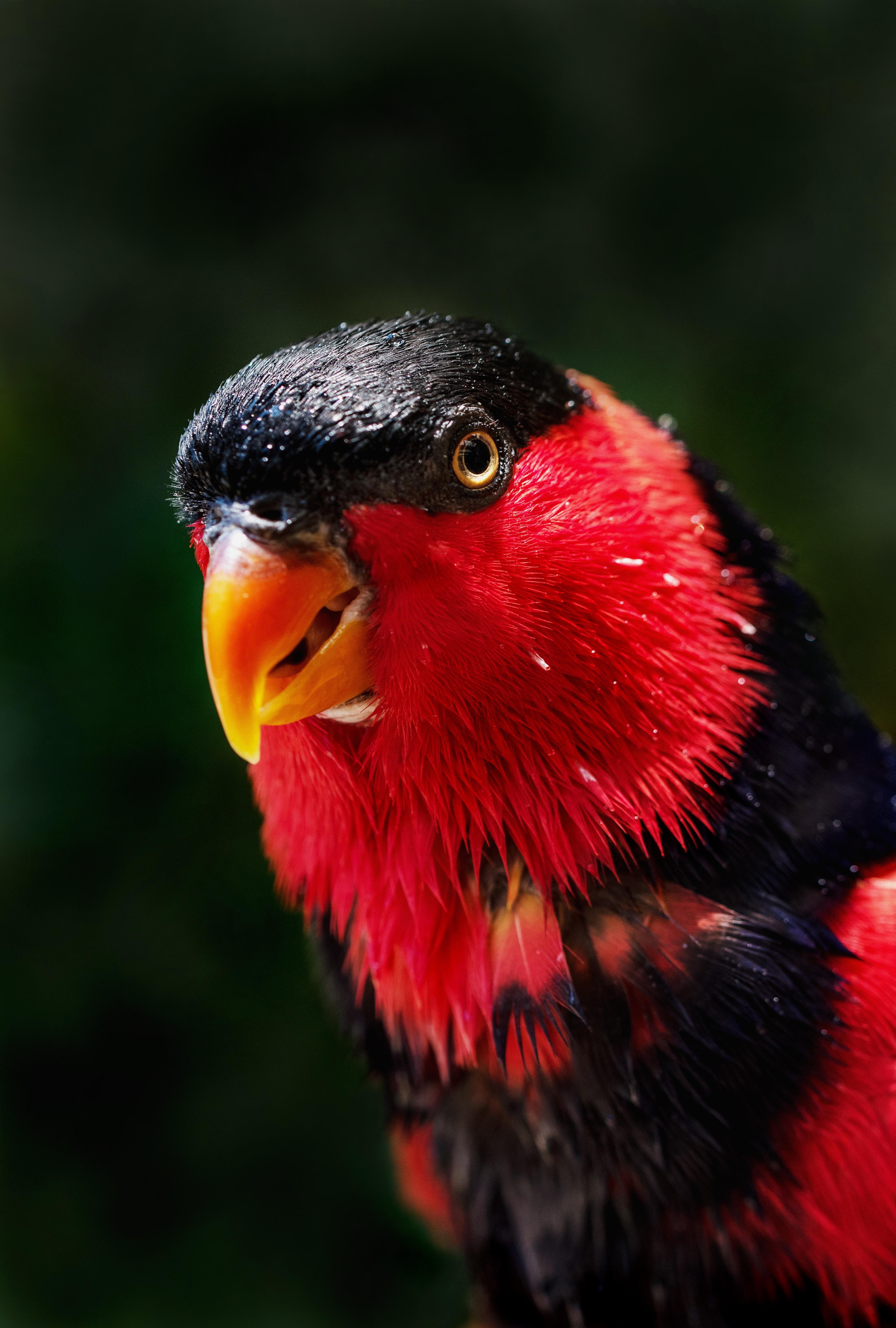 156623 Заставки и Обои Попугаи на телефон. Скачать Попугаи, Животные, Птица, Красный, Окрас картинки бесплатно