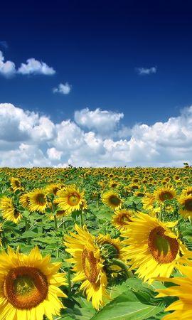 2515 завантажити шпалери Рослини, Пейзаж, Соняшники, Небо - заставки і картинки безкоштовно