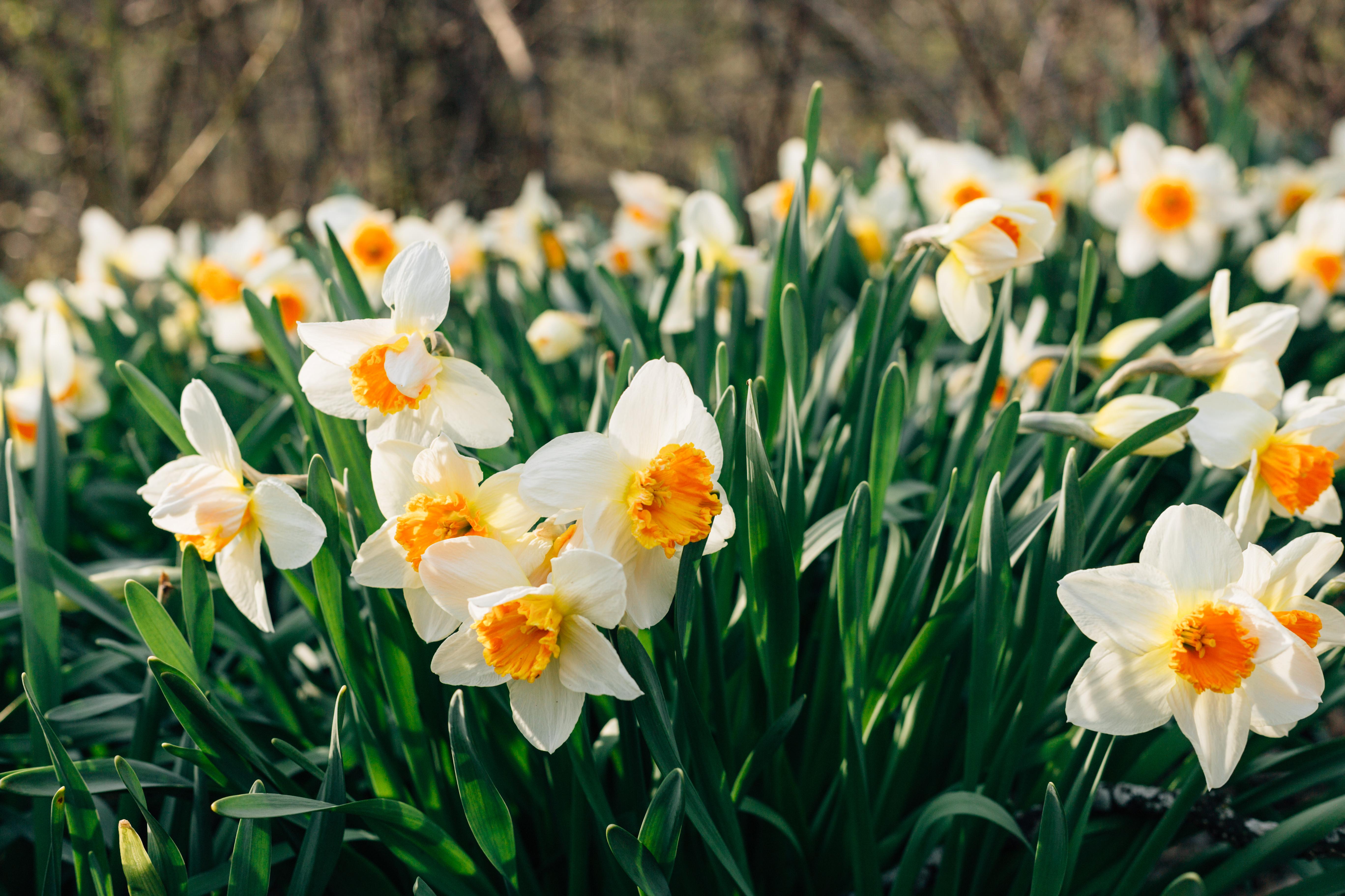 145410 Заставки и Обои Нарциссы на телефон. Скачать Цветы, Нарциссы, Клумба картинки бесплатно