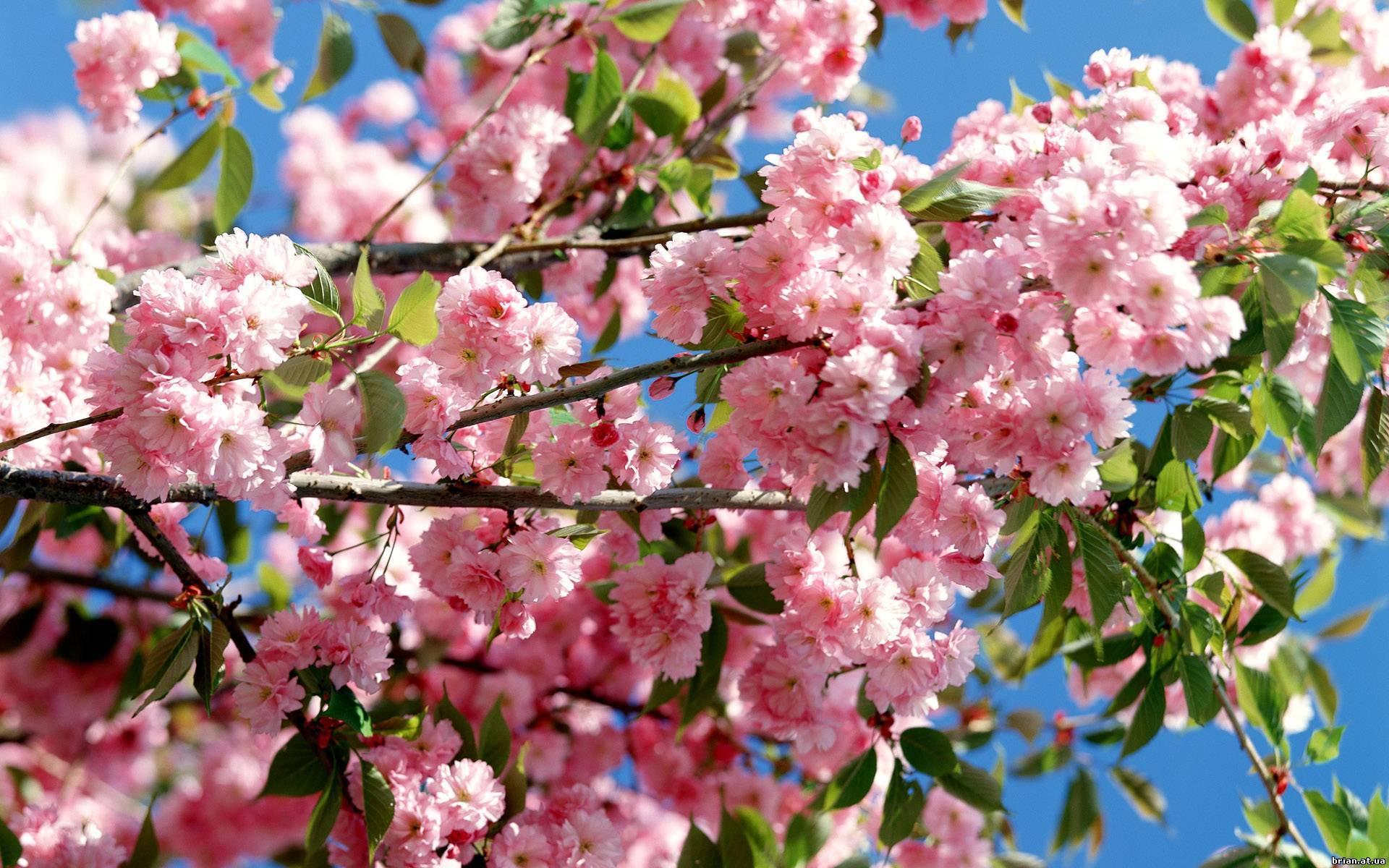 17770 скачать обои Растения, Цветы, Деревья - заставки и картинки бесплатно