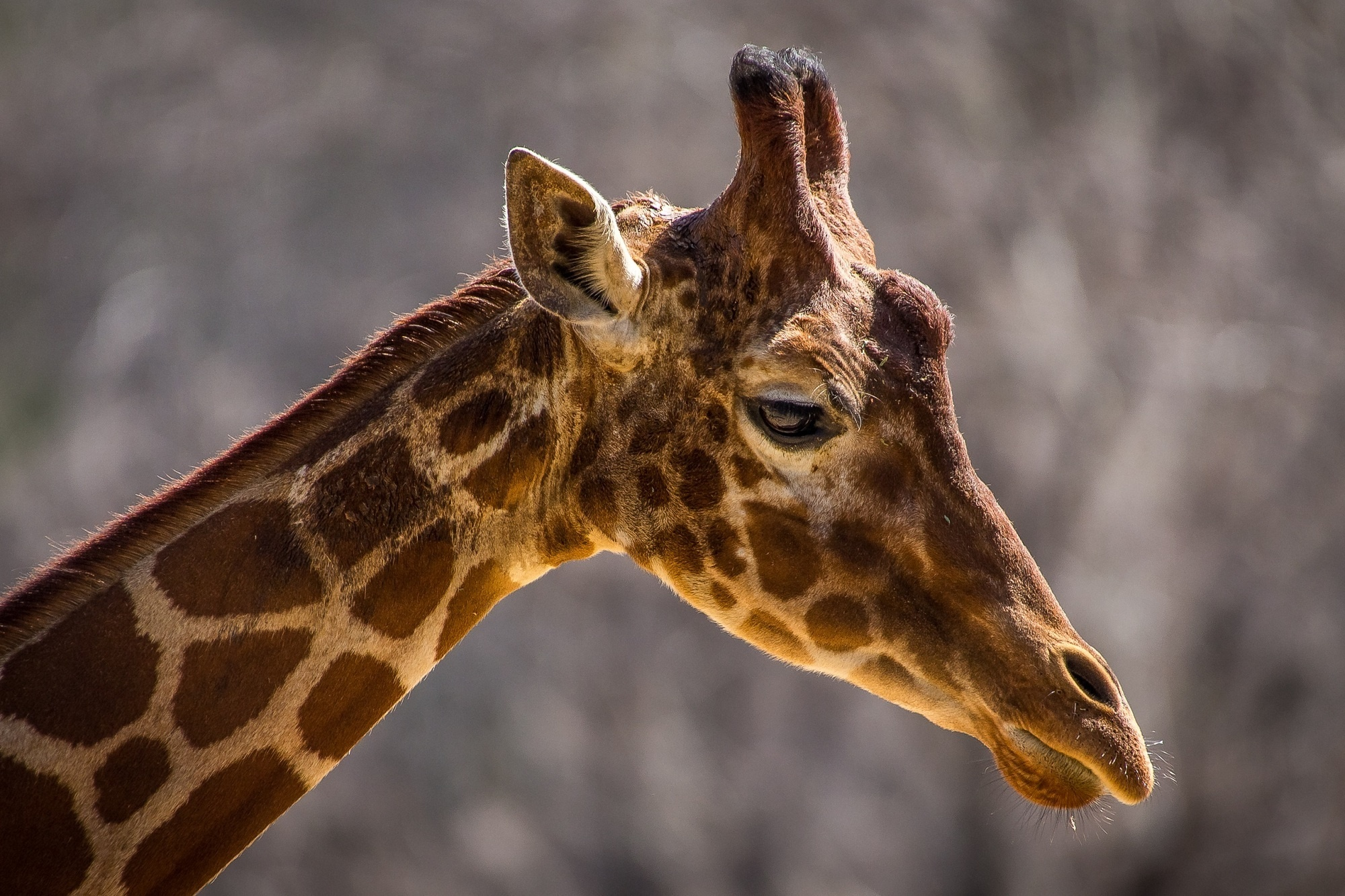 93634 免費下載壁紙 动物, 长颈鹿, 枪口, 莫尔达, 脖子, 颈部, 轮廓, 简介, 污渍 屏保和圖片