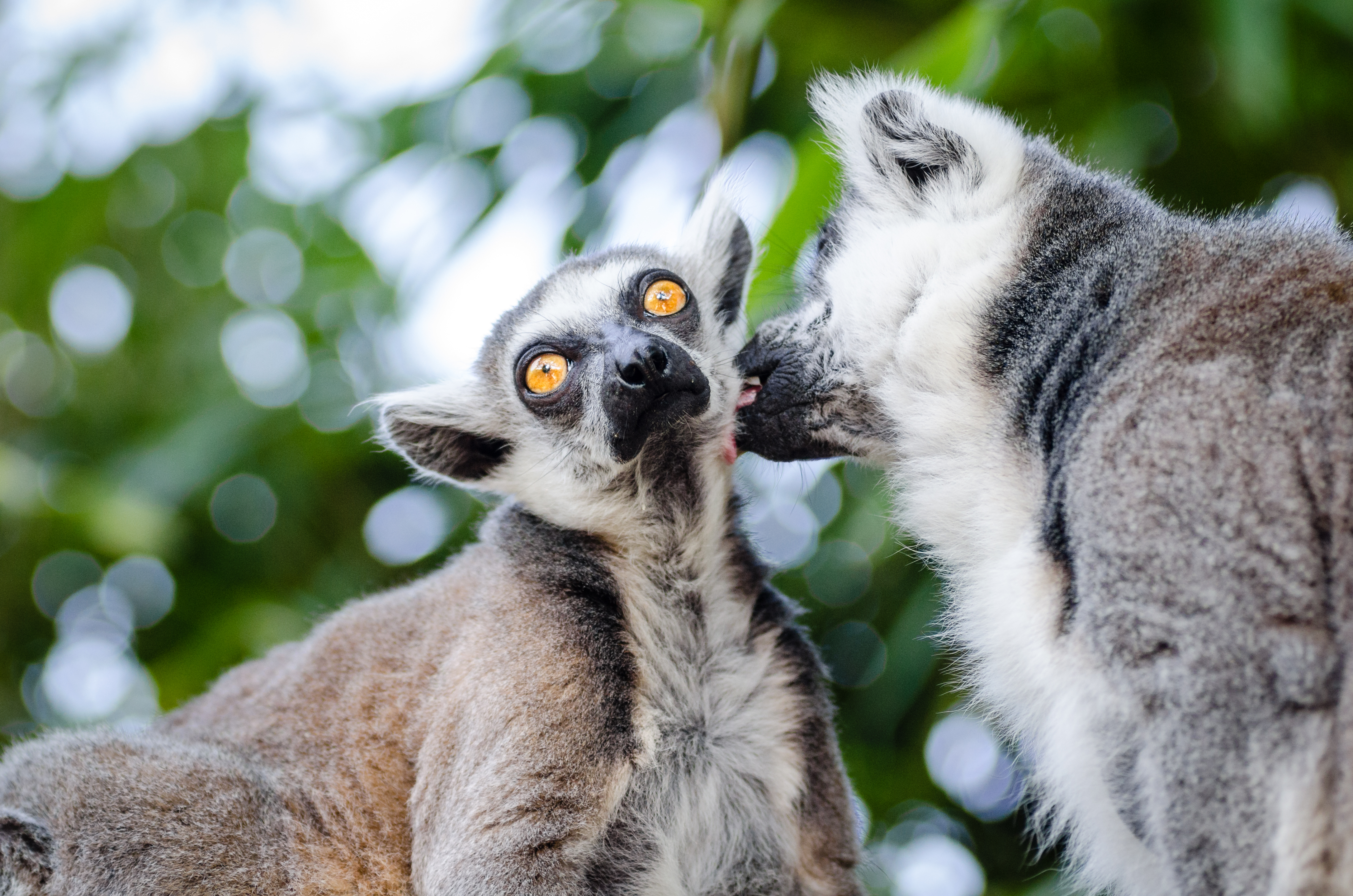 58566 Screensavers and Wallpapers Lemurs for phone. Download Animals, Lemurs, Couple, Pair, Lick Your Lips, Licking pictures for free