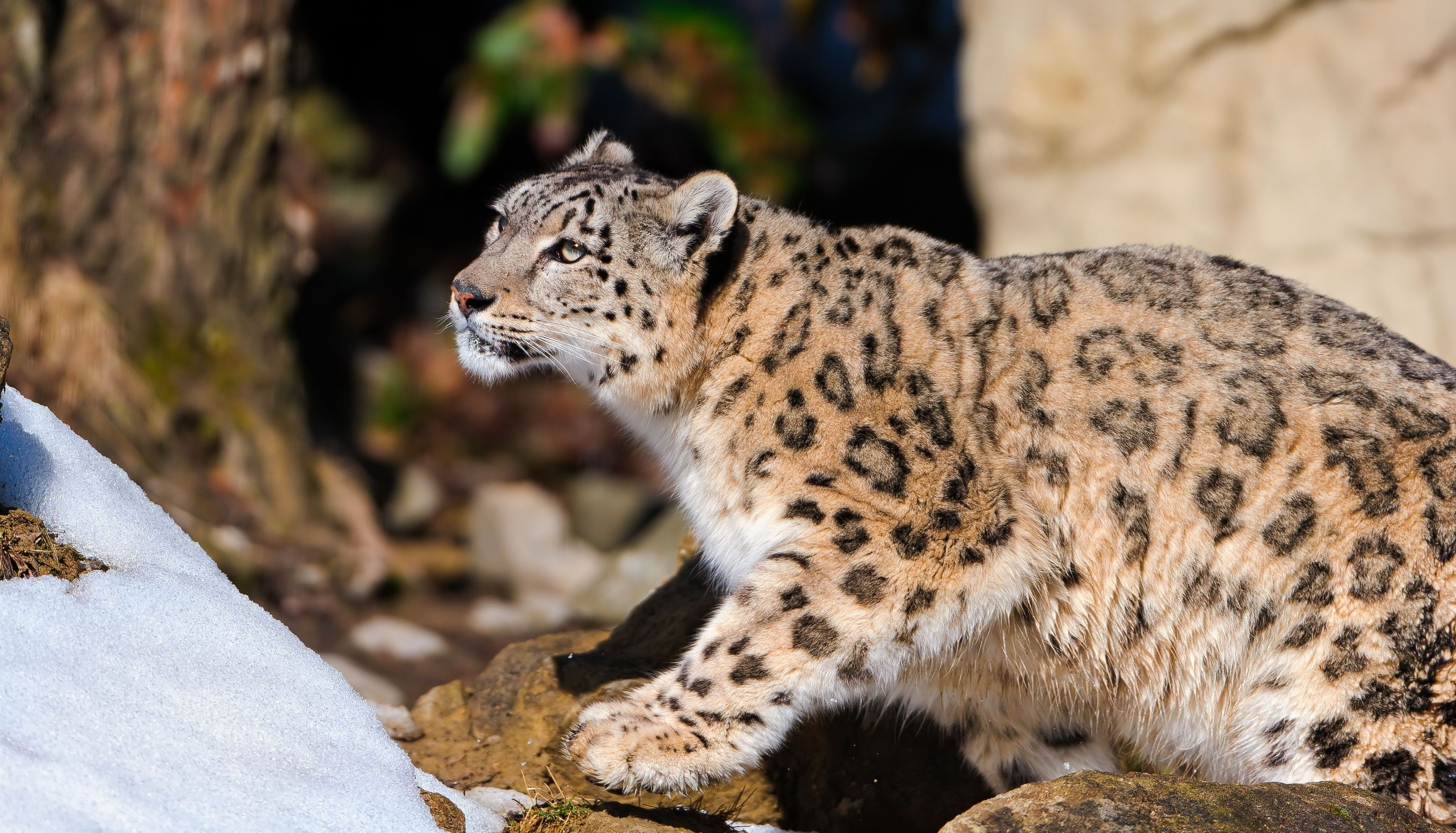 105380 download wallpaper Animals, To Lie Down, Lie, Hunting, Hunt, Lurk, Hide, Snow, Snow Leopard screensavers and pictures for free