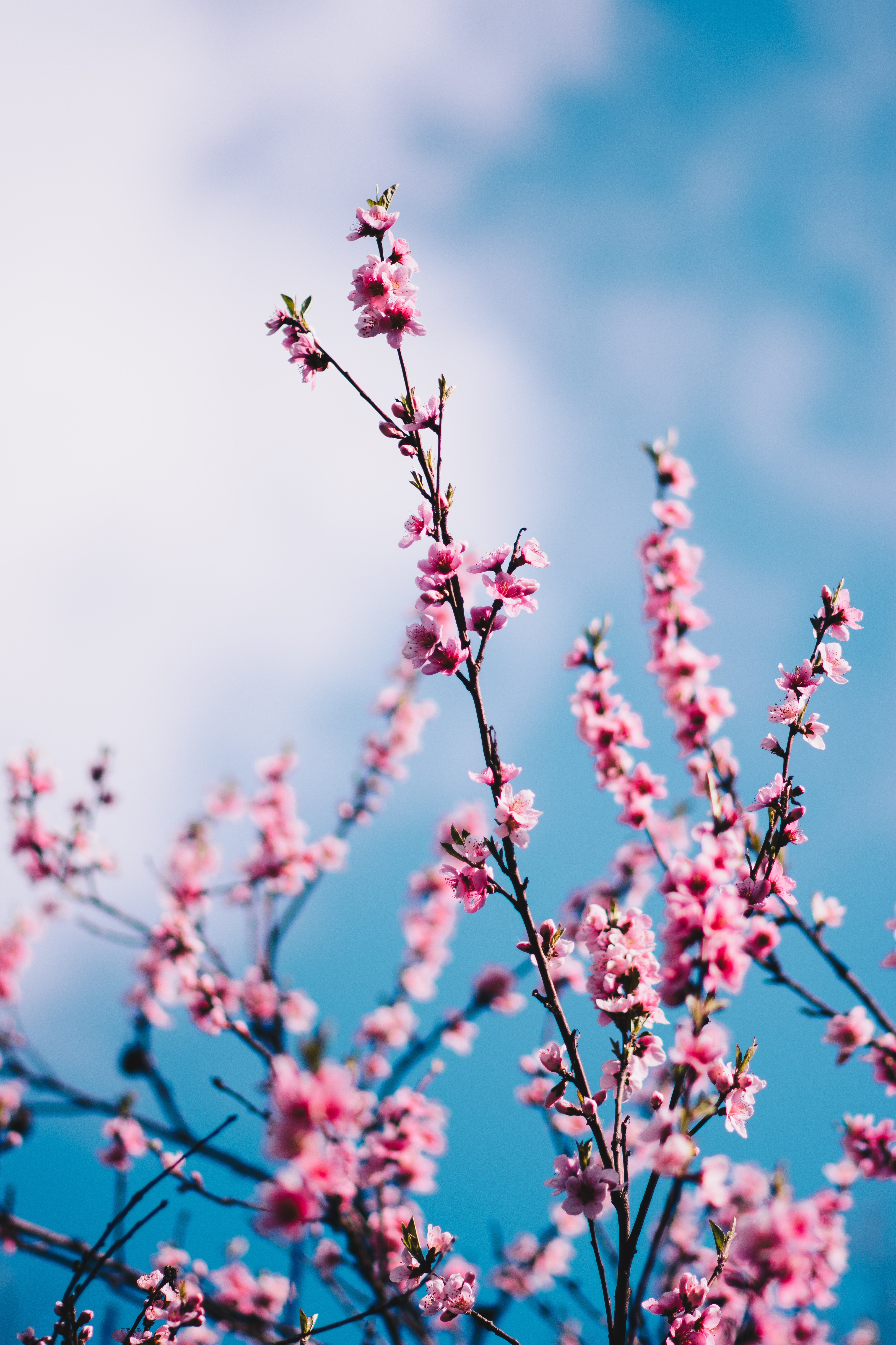 120089 Screensavers and Wallpapers Sakura for phone. Download Flowers, Sky, Clouds, Sakura, Branches, Spring pictures for free