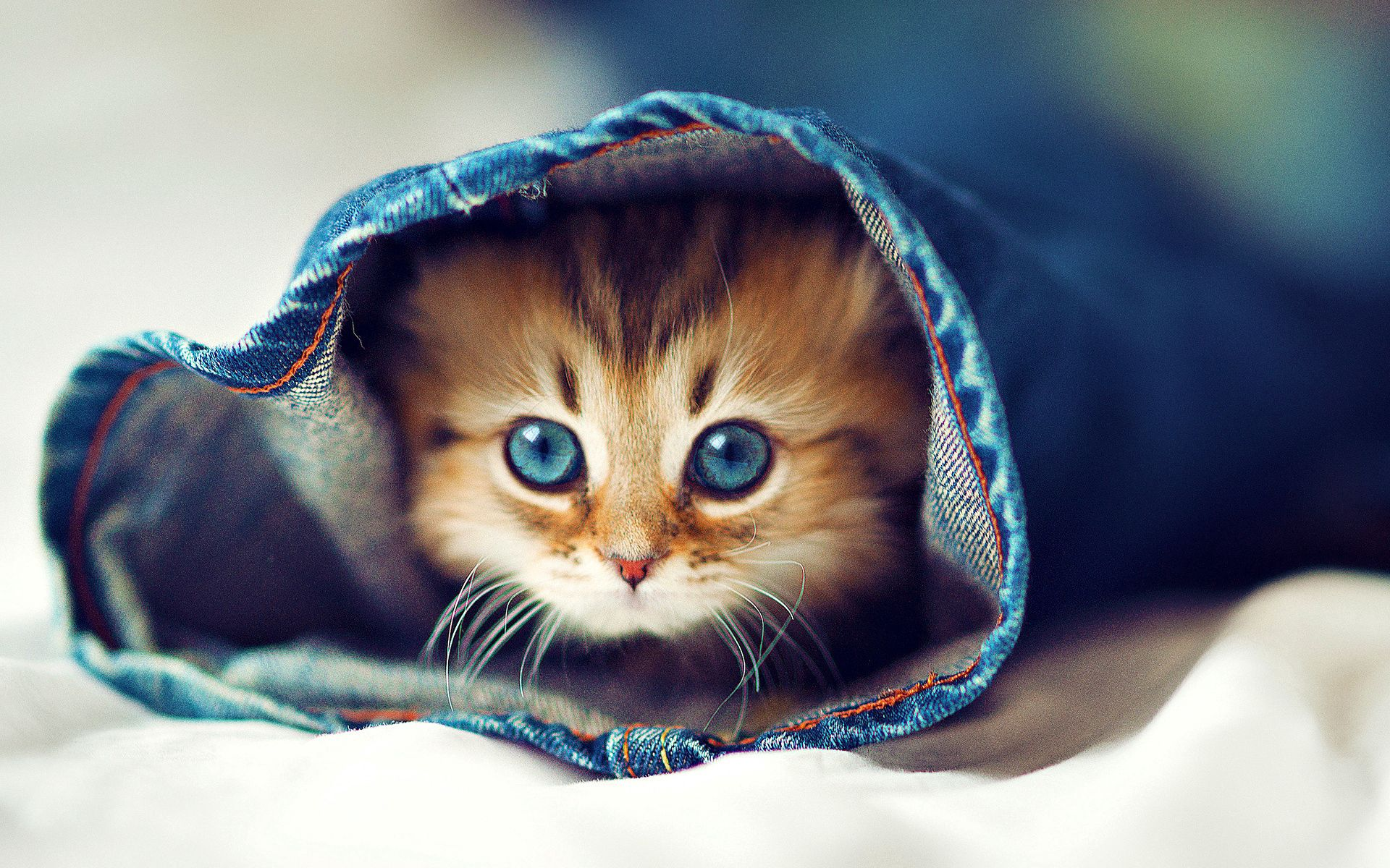 125667 download wallpaper Animals, Fluffy, Kitty, Kitten, Muzzle, Hide, Jeans screensavers and pictures for free