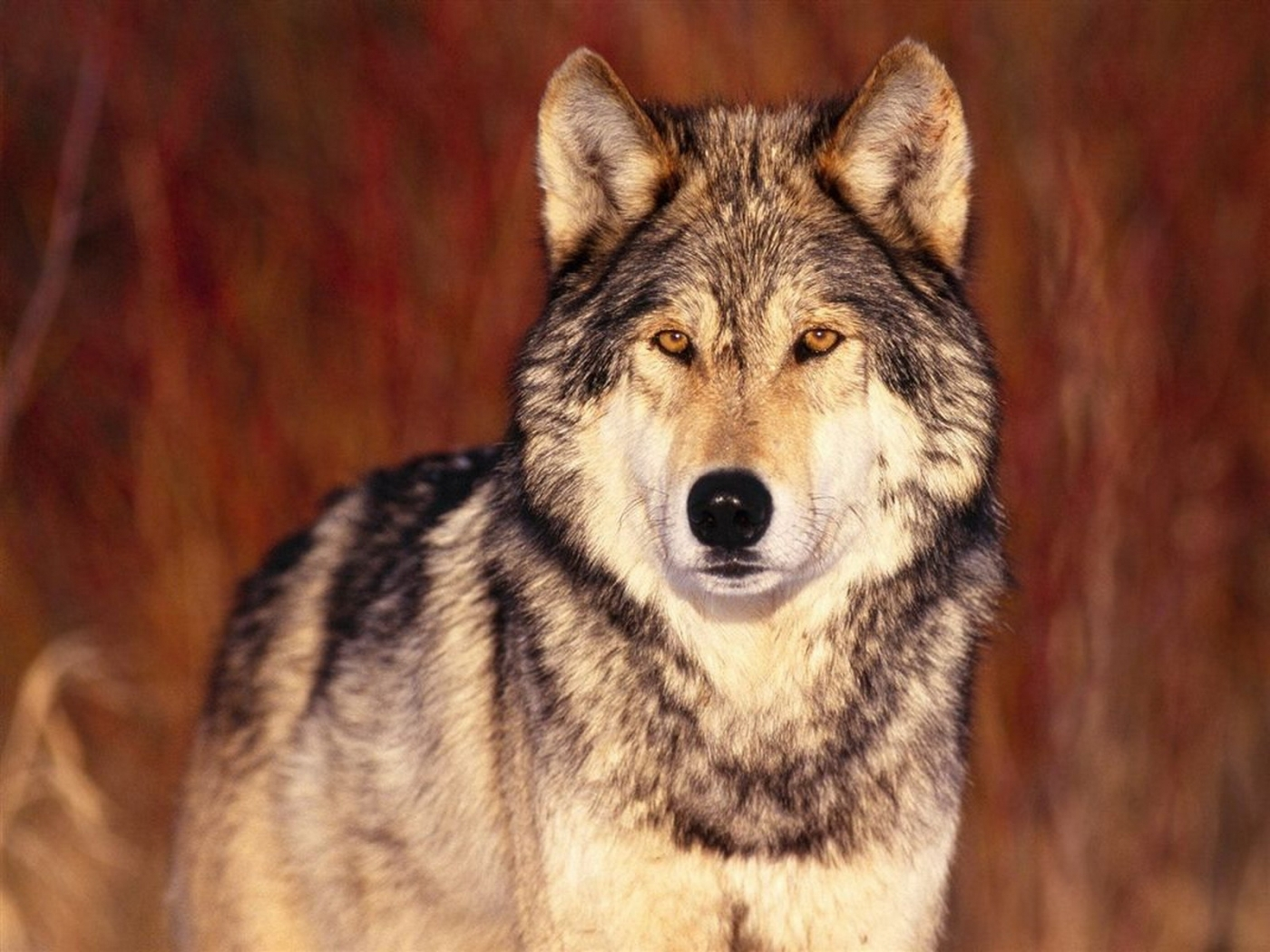 44643 download wallpaper Animals, Wolfs screensavers and pictures for free