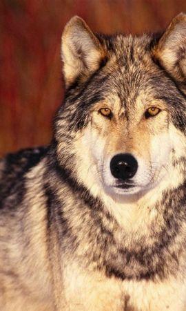 44643 baixar papel de parede Animais, Lobos - protetores de tela e imagens gratuitamente