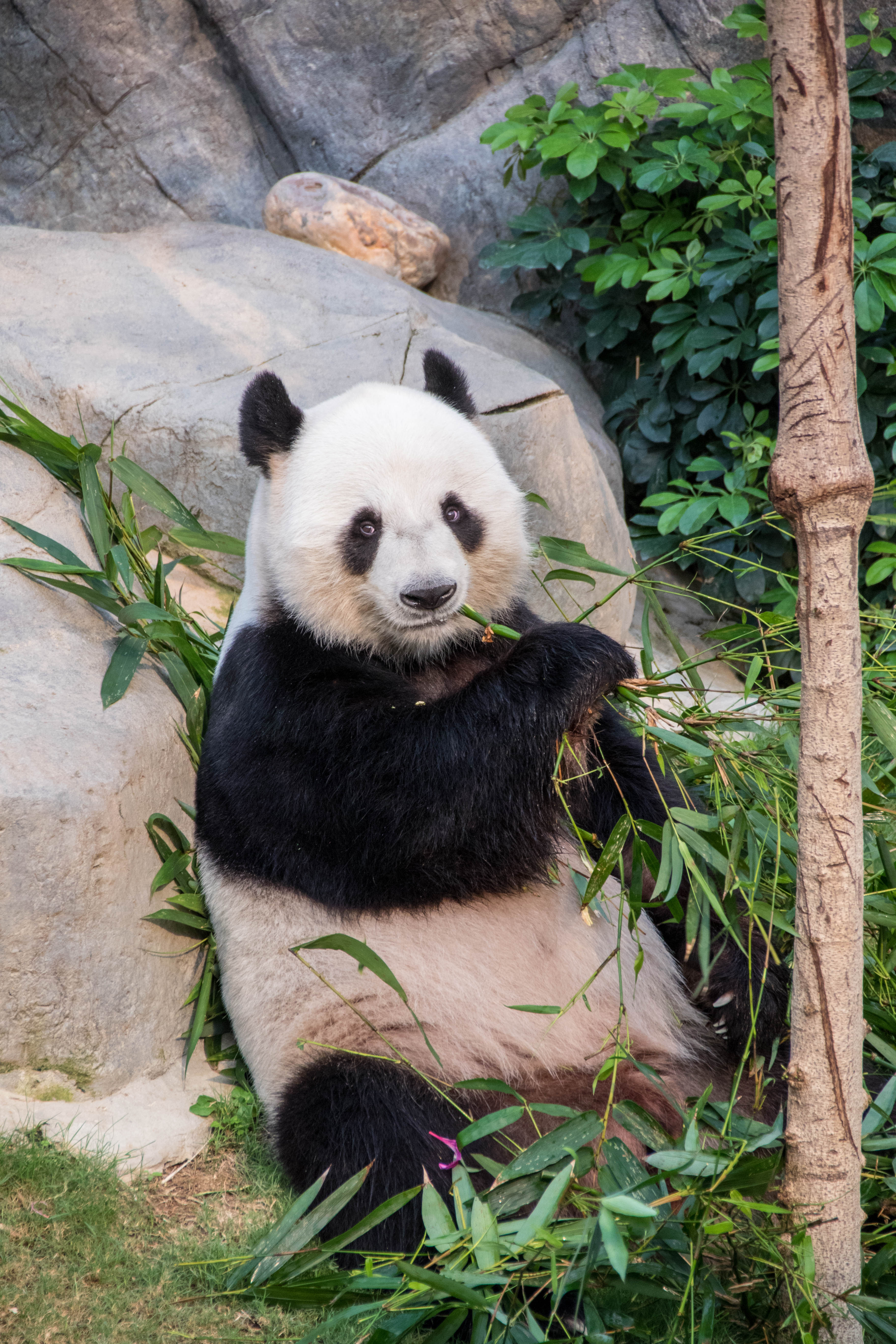 101664 download wallpaper Animals, Panda, Bamboo, Branches, Animal screensavers and pictures for free