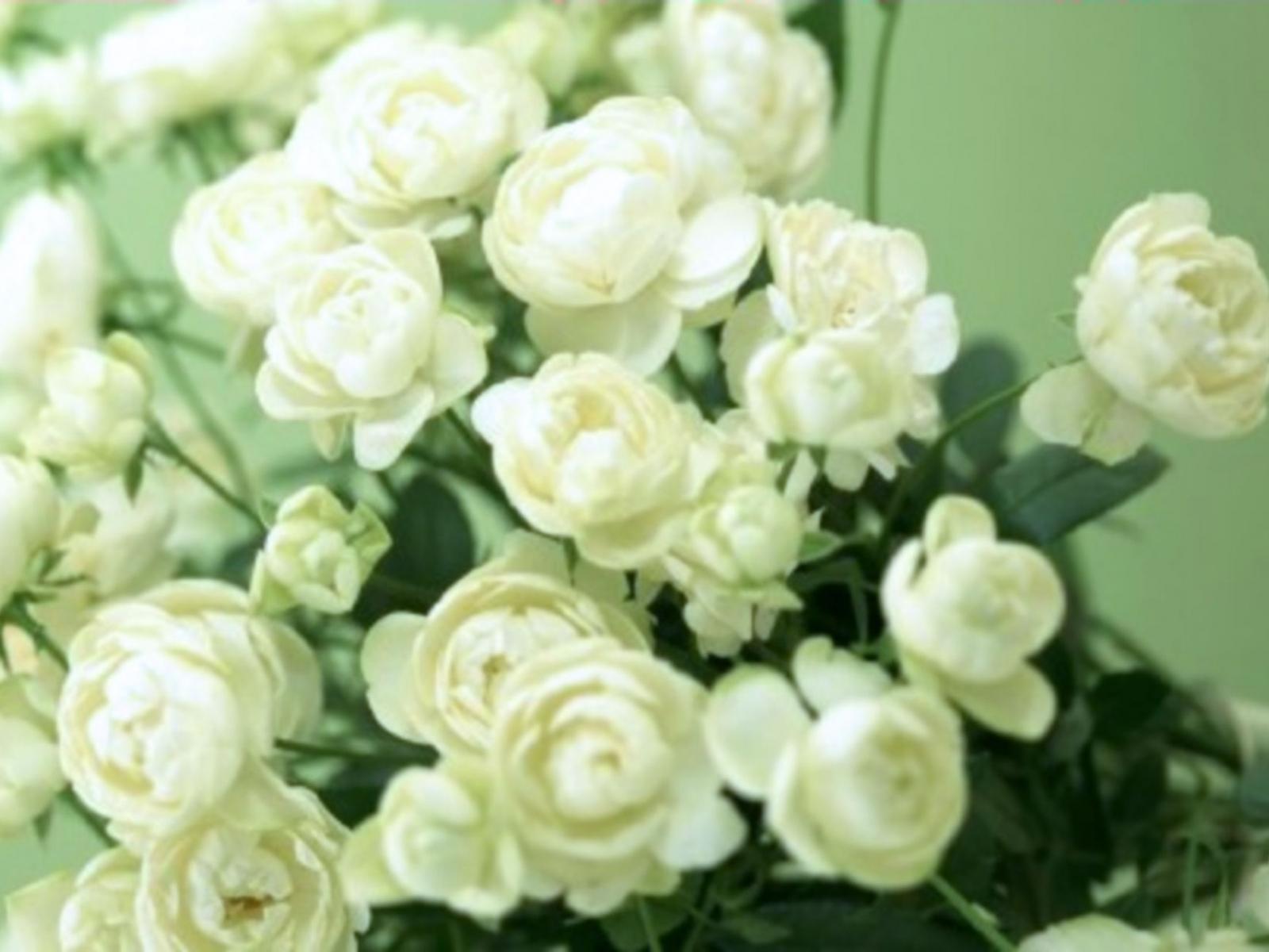 2380 скачать обои Растения, Цветы, Розы - заставки и картинки бесплатно