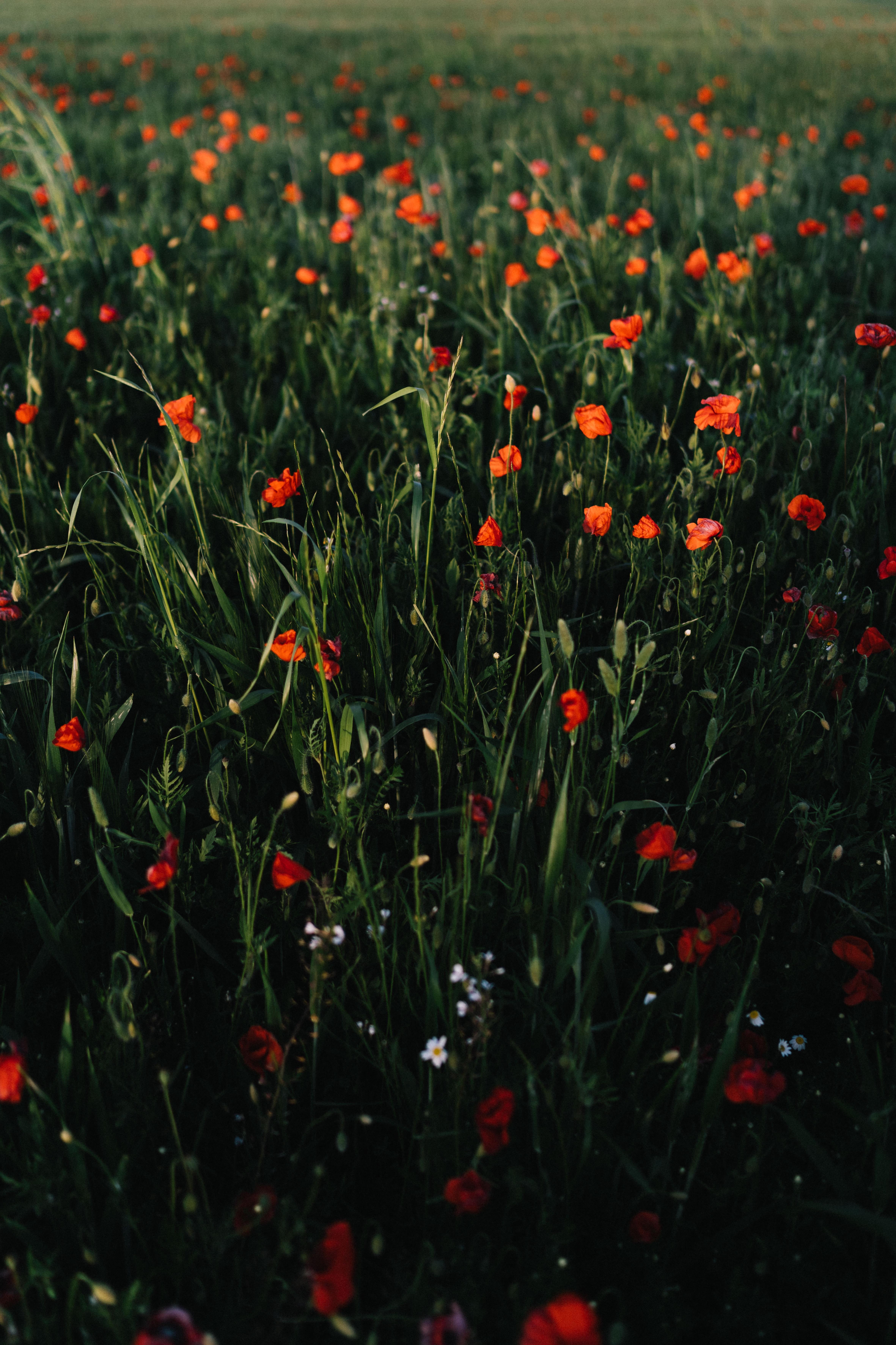 83383 скачать обои Цветы, Маки, Поле, Трава, Простор - заставки и картинки бесплатно