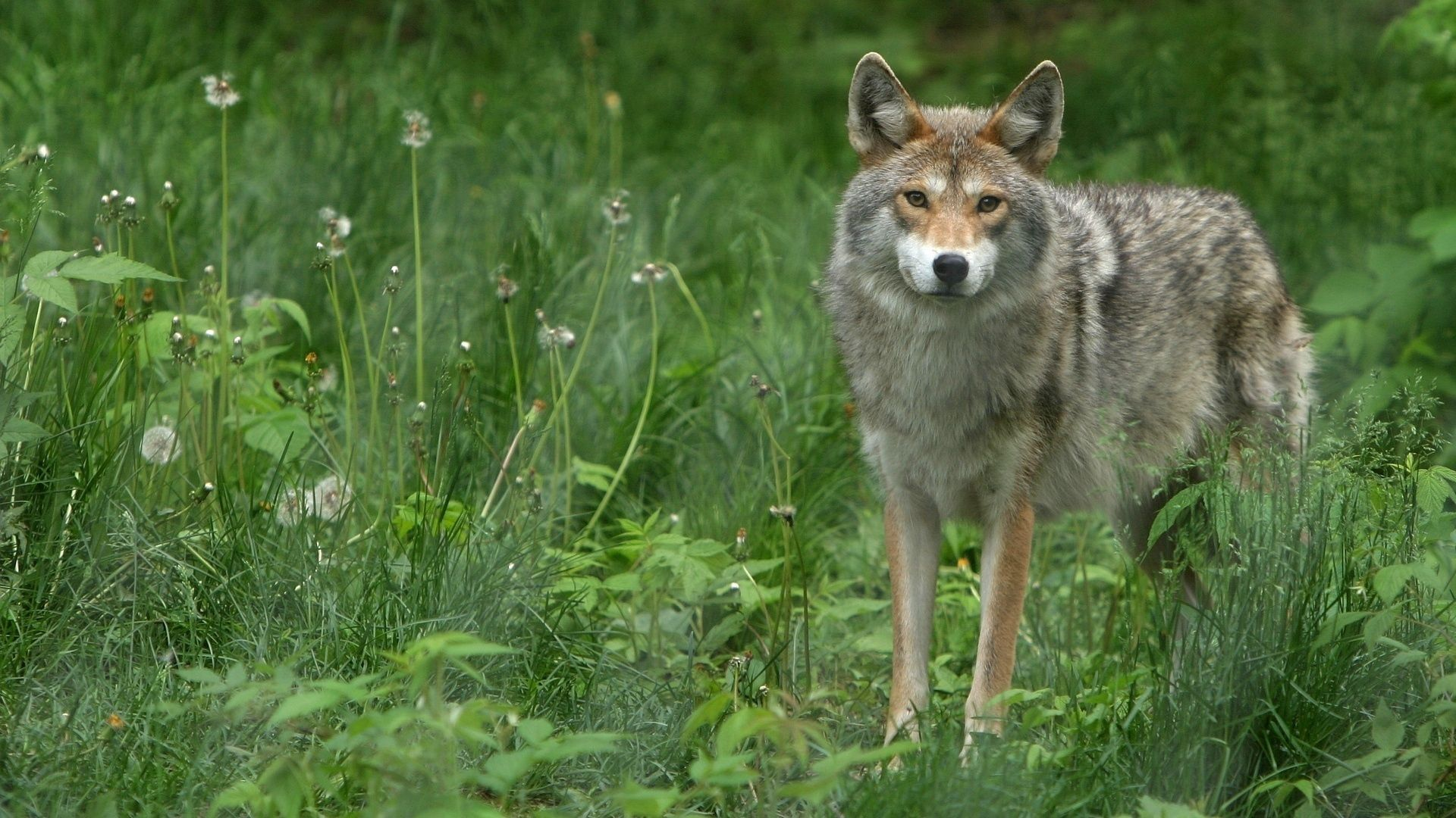 79301 download wallpaper Animals, Grass, Dandelions, Grey Wolf screensavers and pictures for free