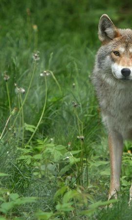 79301 скачать обои Животные, Серый Волк, Одуванчики, Трава - заставки и картинки бесплатно