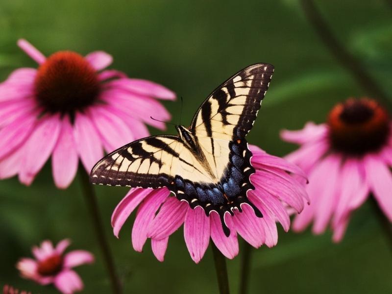 45289 descargar fondo de pantalla Mariposas, Insectos: protectores de pantalla e imágenes gratis