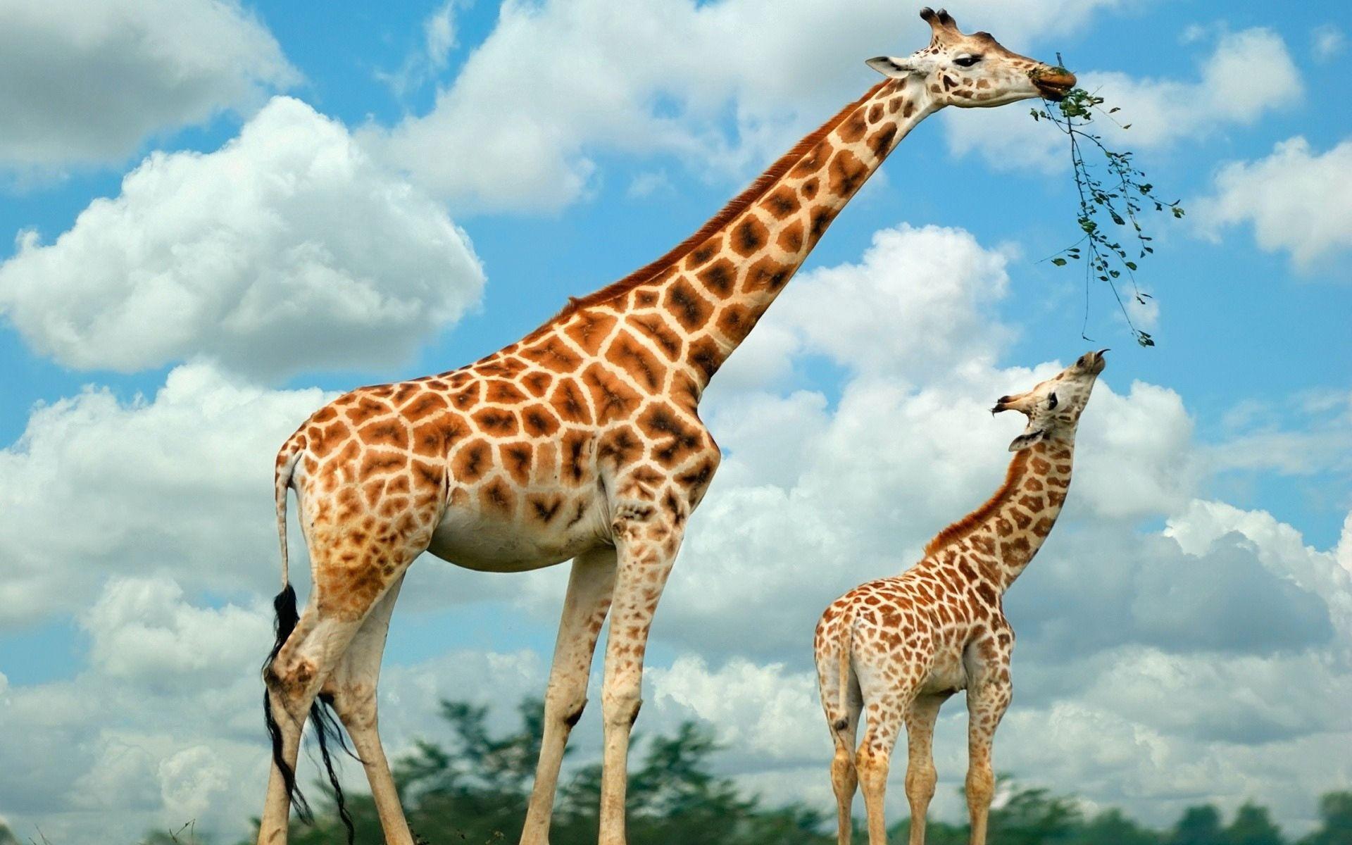 111128 Hintergrundbild herunterladen Tiere, Natur, Lebensmittel, Bummel, Spaziergang, Giraffe - Bildschirmschoner und Bilder kostenlos