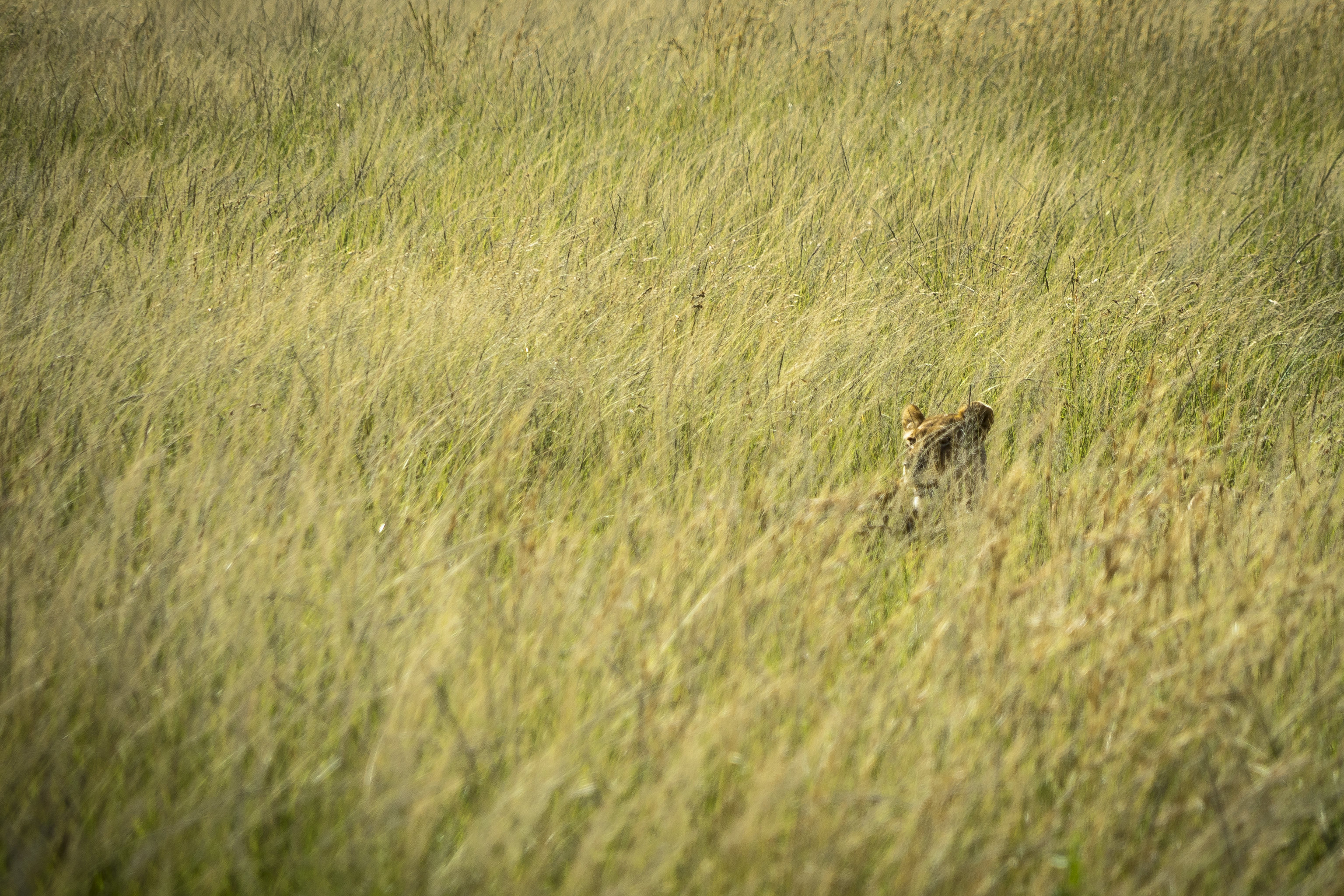 124633 download wallpaper Animals, Lion, Predator, Grass, Thickets, Thicket, Wildlife screensavers and pictures for free