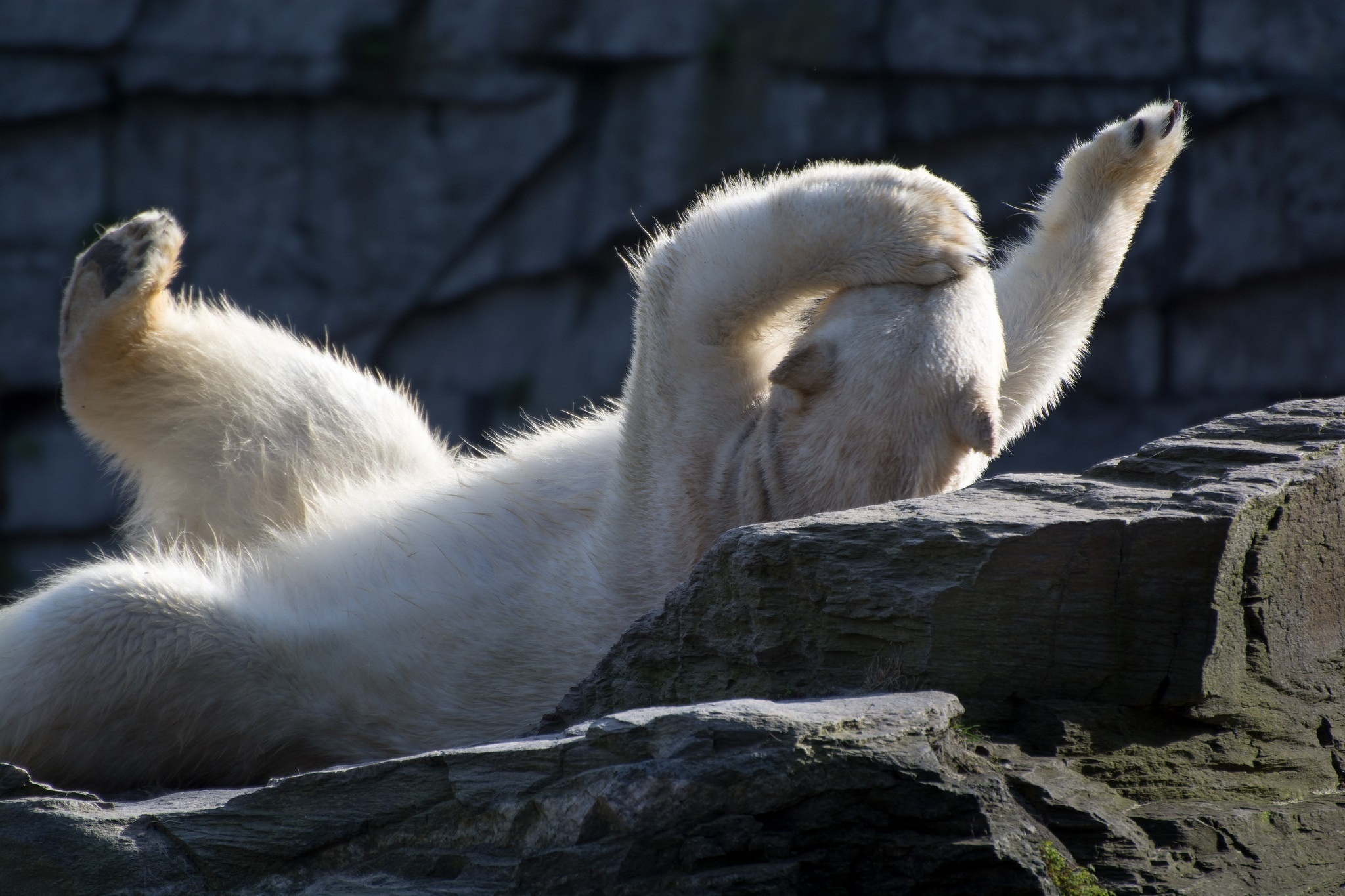 118257 download wallpaper Animals, Polar Bear, To Lie Down, Lie, Playful screensavers and pictures for free