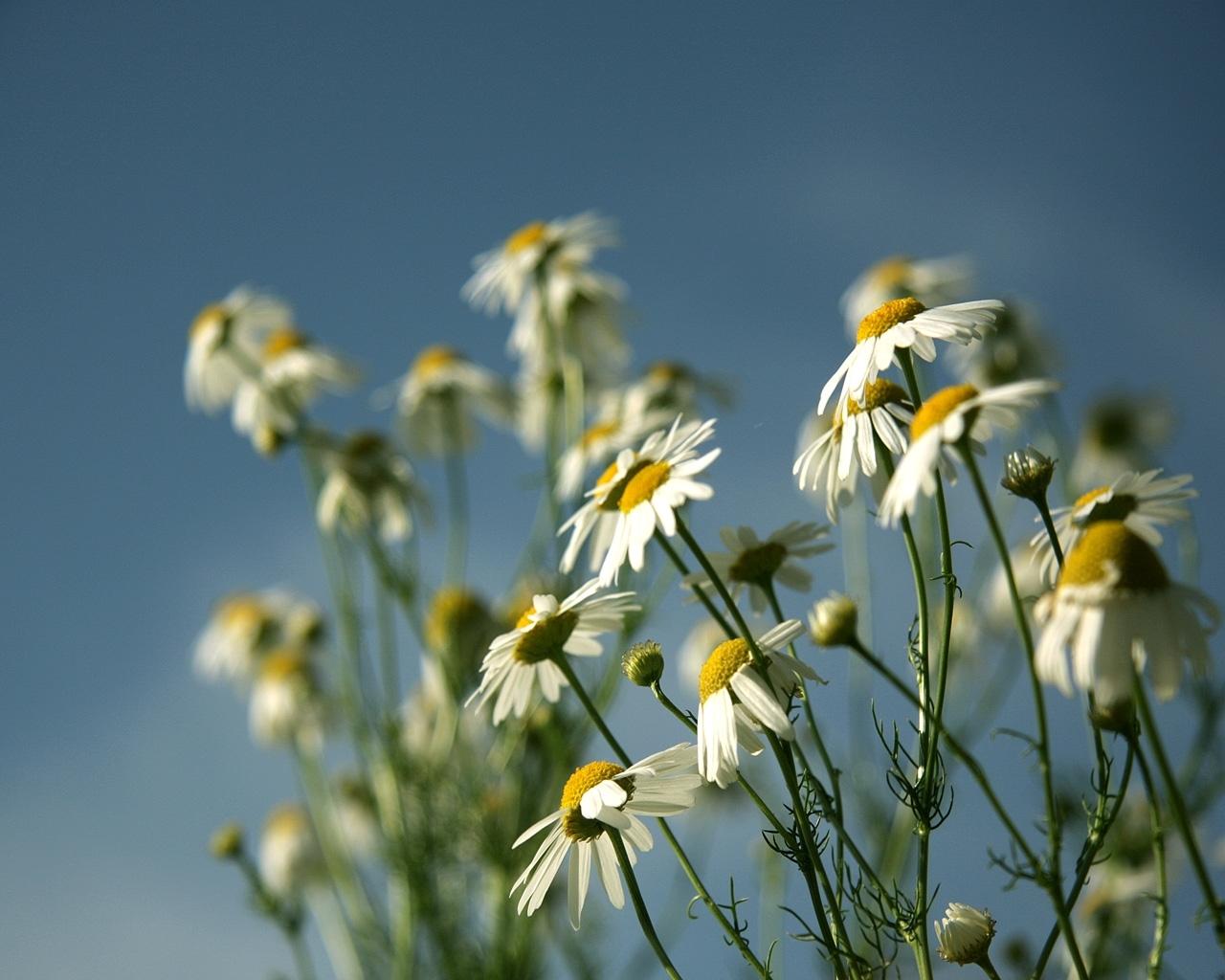 3168 скачать обои Растения, Цветы, Ромашки - заставки и картинки бесплатно
