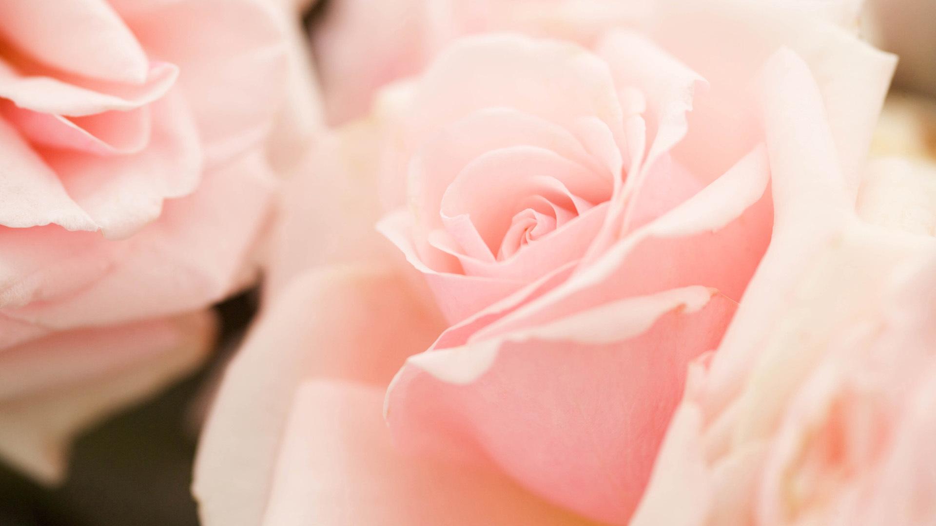 37475 скачать обои Растения, Цветы, Розы - заставки и картинки бесплатно