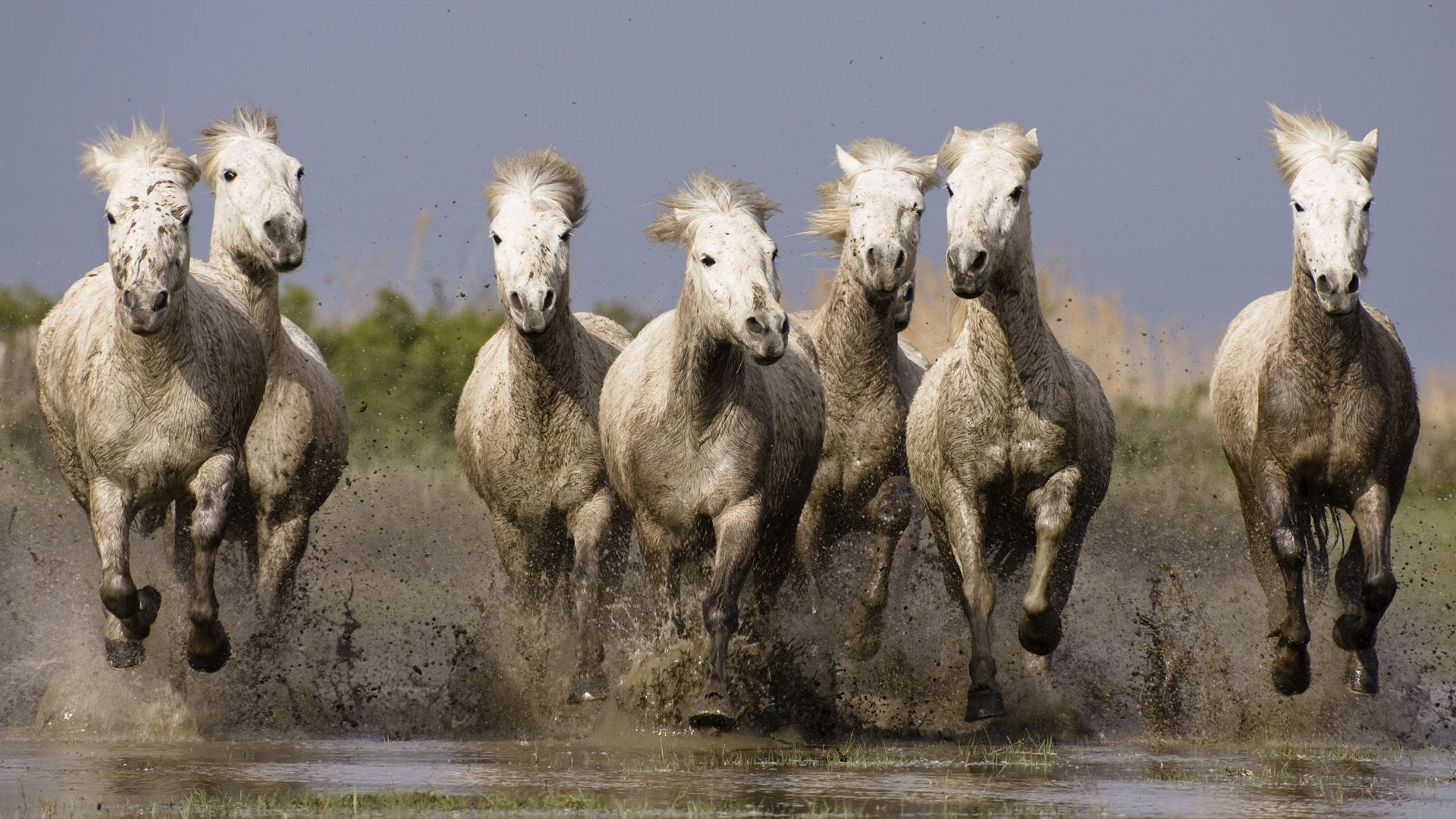 63856 download wallpaper Animals, Horses, Herd, Water, Sea, Shore, Bank, Spray screensavers and pictures for free