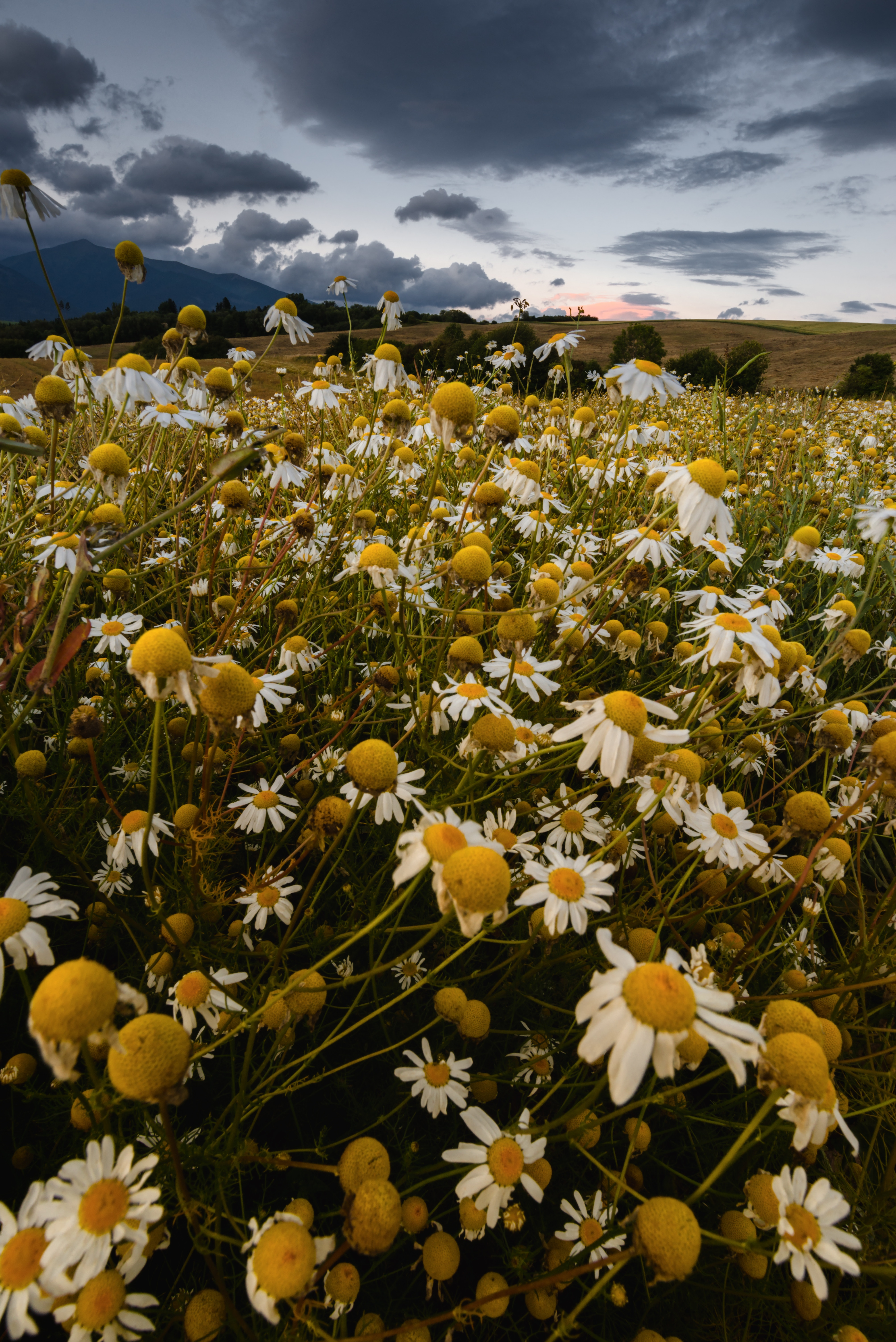 83612 download wallpaper Flowers, Camomile, Field, Mainly Cloudy, Overcast, Summer screensavers and pictures for free