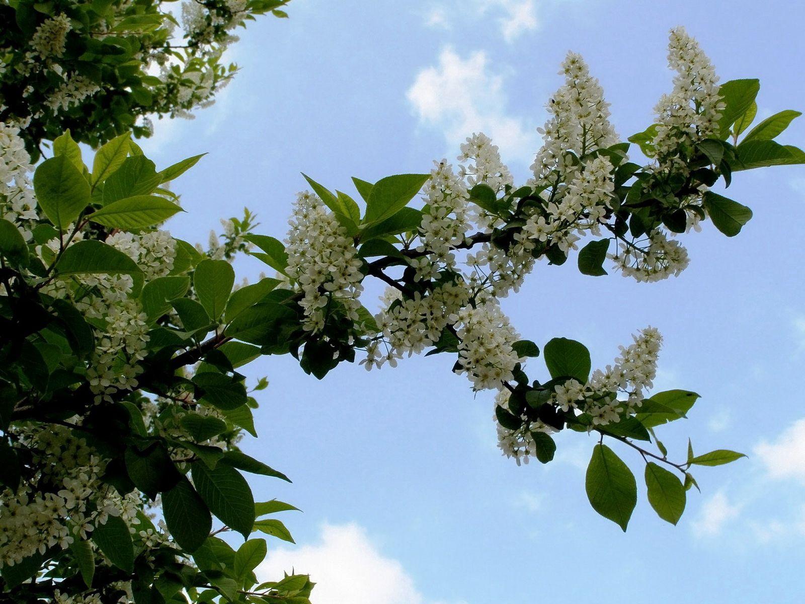 101648 скачать обои Цветы, Черемуха, Цветение, Ветка, Листья, Небо, Облака - заставки и картинки бесплатно