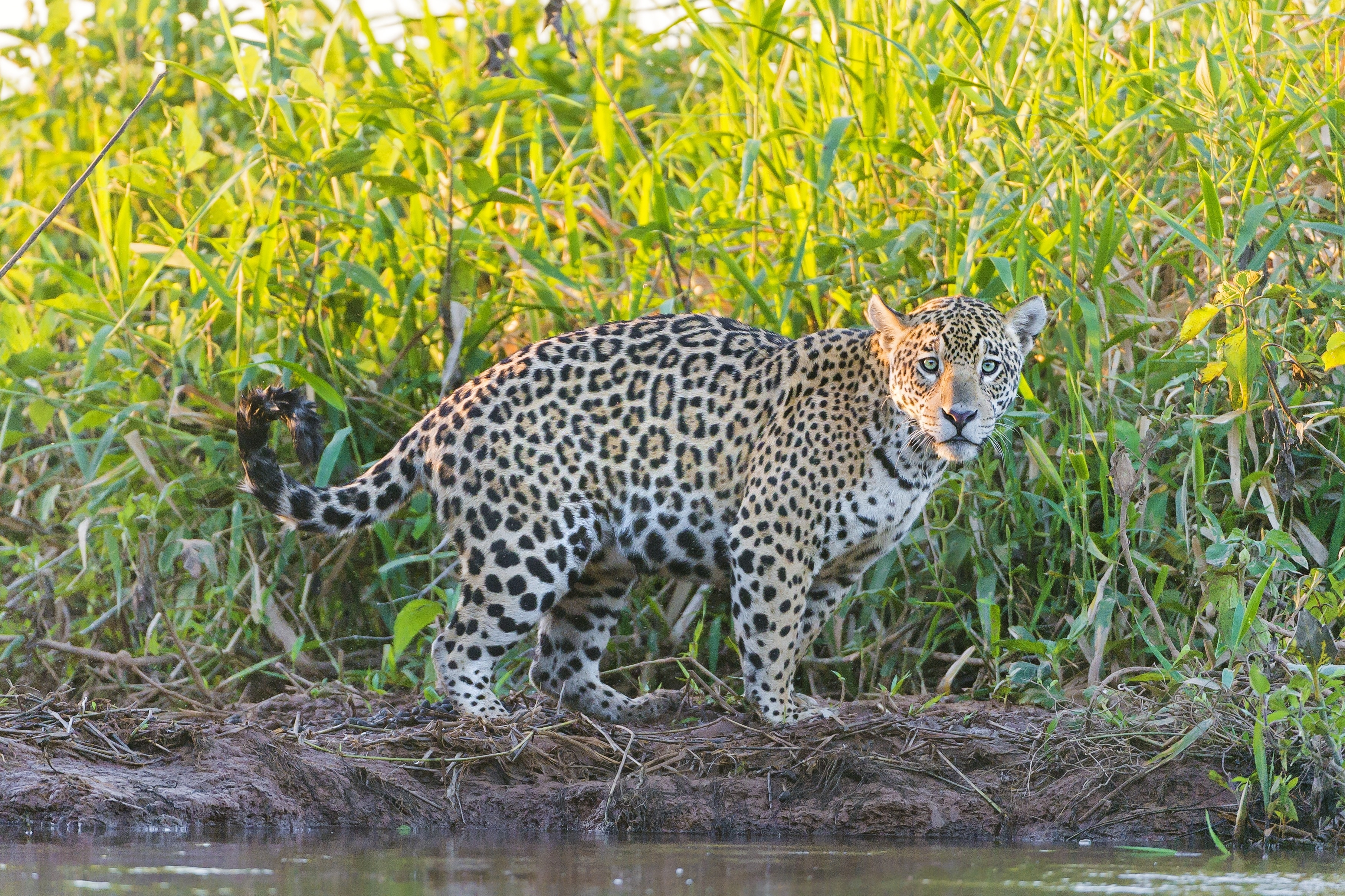 120181 download wallpaper Animals, Jaguar, Grass, Stroll, Predator screensavers and pictures for free