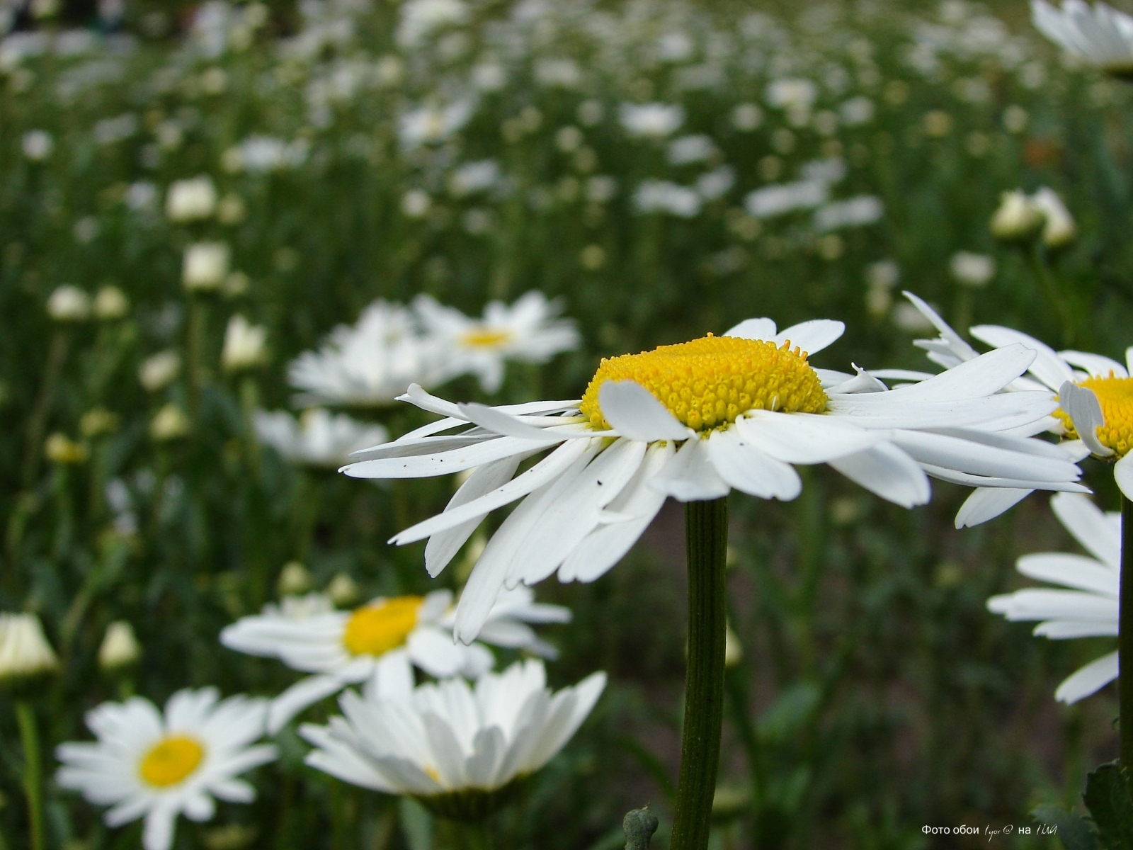 4386 скачать обои Растения, Цветы, Ромашки - заставки и картинки бесплатно