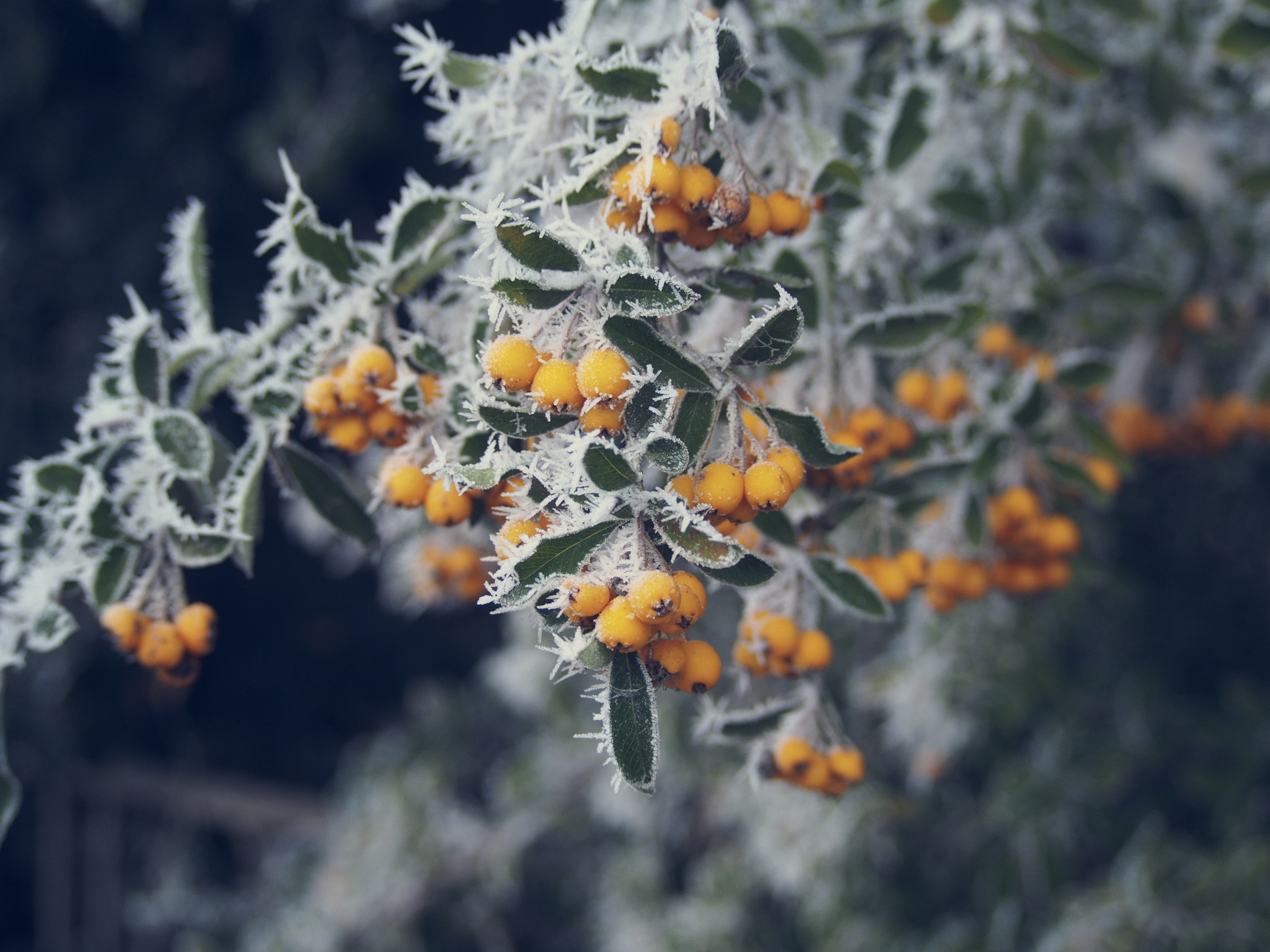155901 download wallpaper Macro, Rime, Frost, Berries screensavers and pictures for free