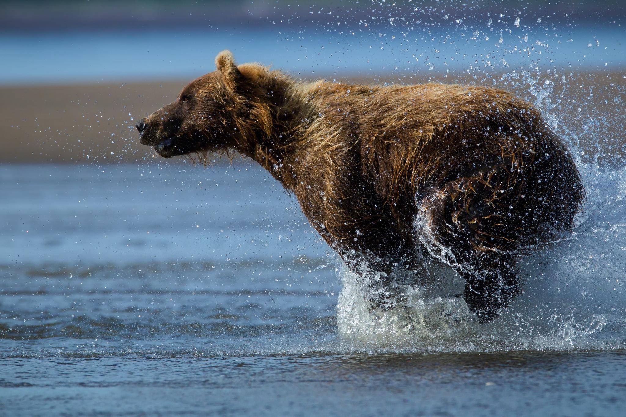 134078 Hintergrundbild herunterladen Tiere, Wasser, Nass, Bär, Weglaufen, Ausführen - Bildschirmschoner und Bilder kostenlos