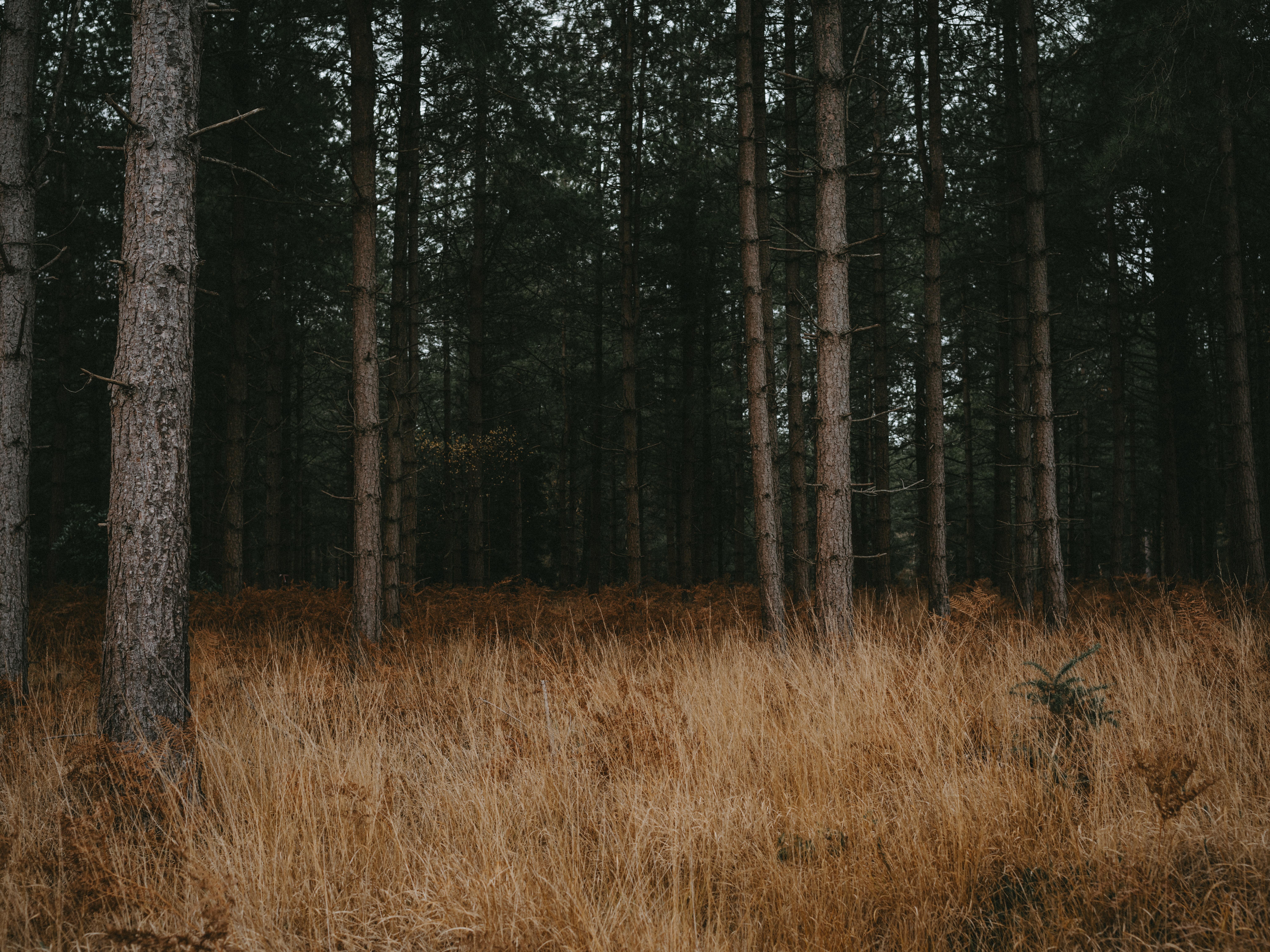 85442 скачать обои Природа, Лес, Деревья, Трава, Хвойный, Сосны - заставки и картинки бесплатно
