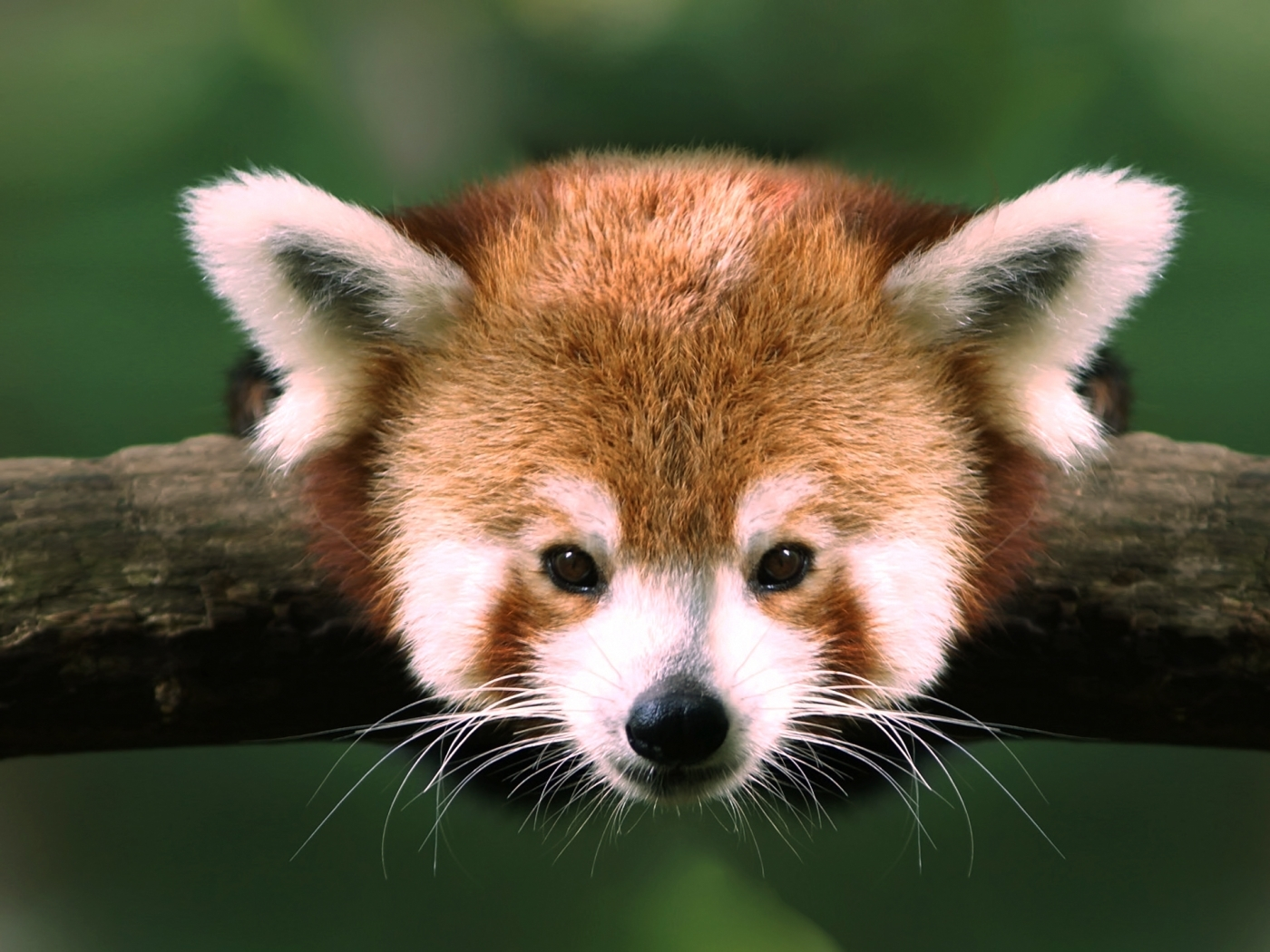31790 download wallpaper Animals, Pandas screensavers and pictures for free