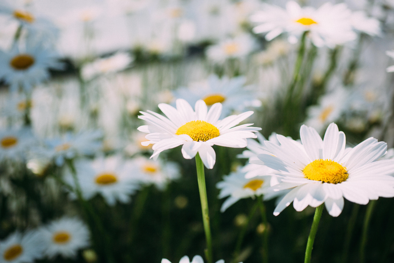 150051 Salvapantallas y fondos de pantalla Flores en tu teléfono. Descarga imágenes de Flores, Manzanilla, Campo, Flor, Pétalos gratis