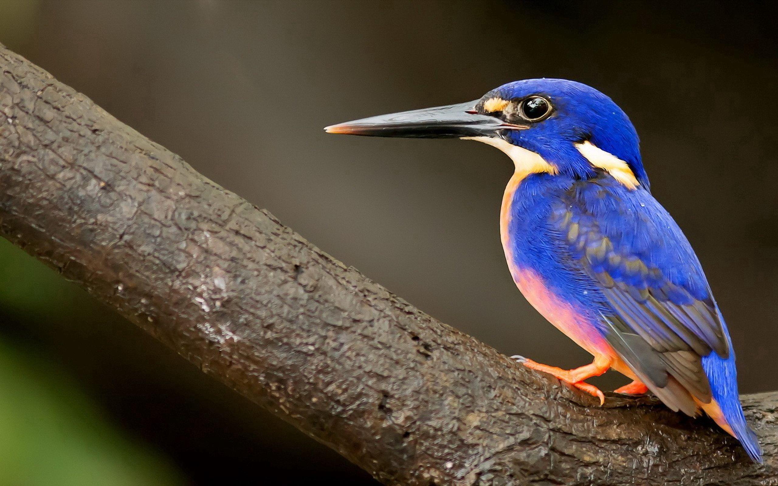 100140 Hintergrundbild herunterladen Tiere, Vogel, Schnabel, Eisvogel, Kingfisher - Bildschirmschoner und Bilder kostenlos