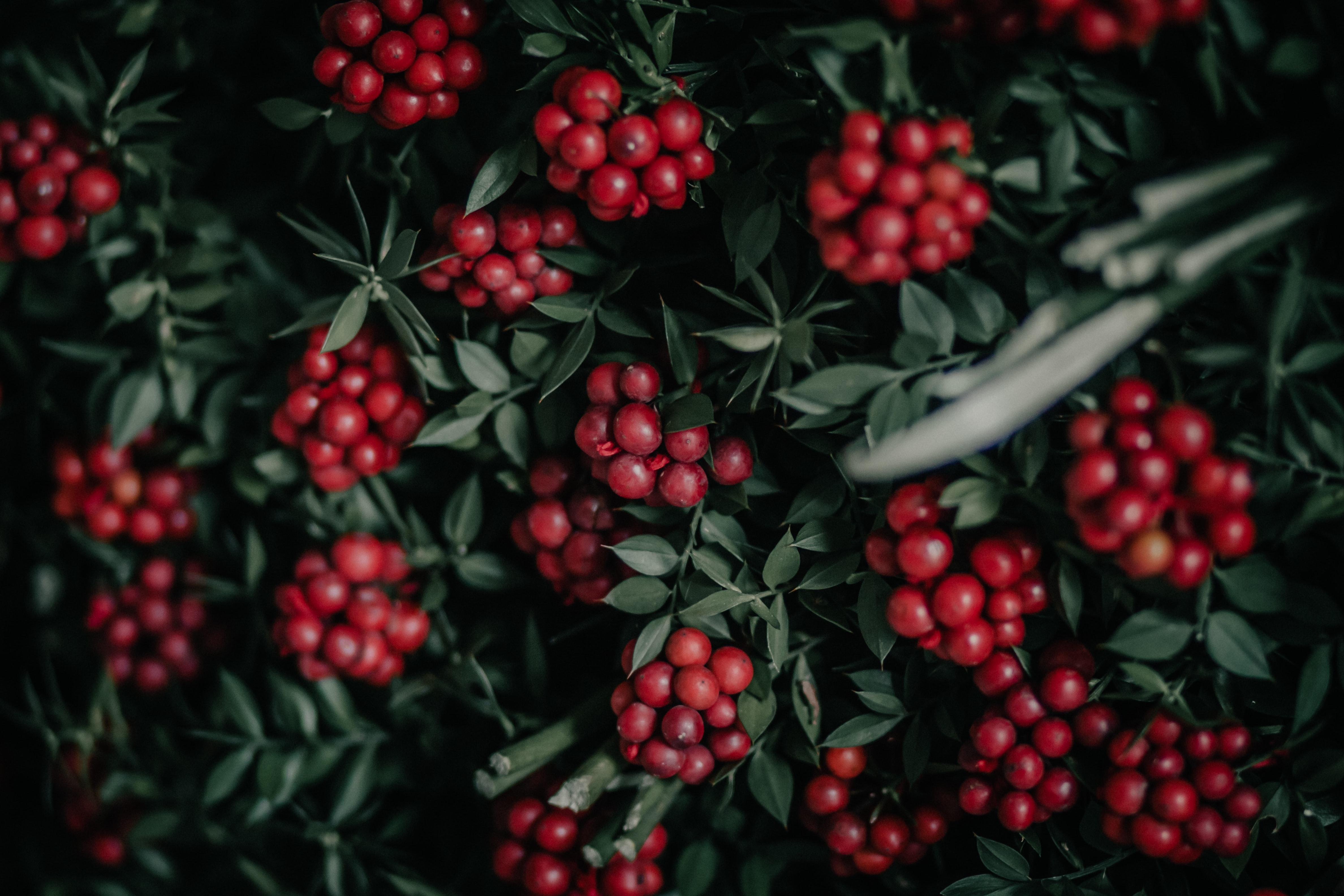 79095 скачать обои Природа, Грозди, Красный, Растение, Ягоды - заставки и картинки бесплатно