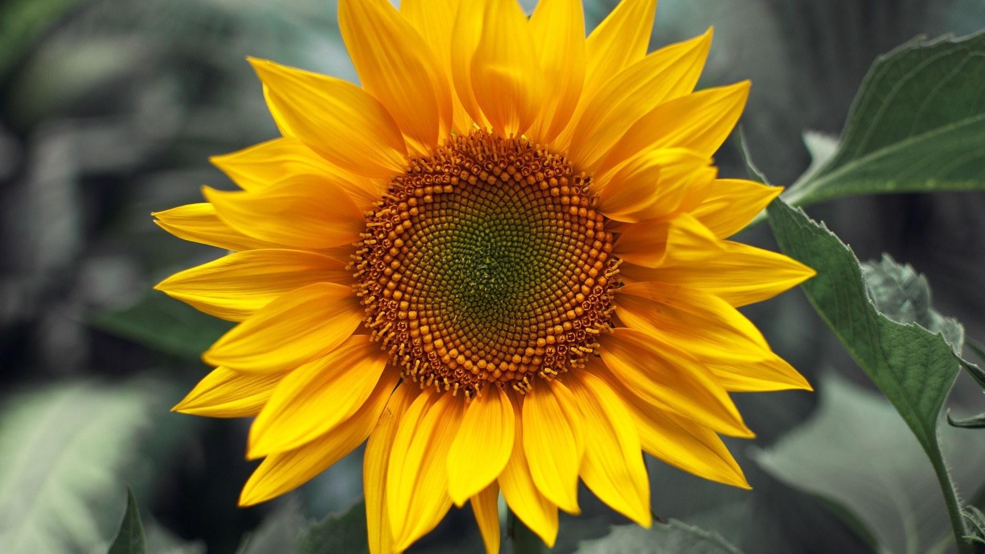30958 免費下載壁紙 植物, 向日葵 屏保和圖片