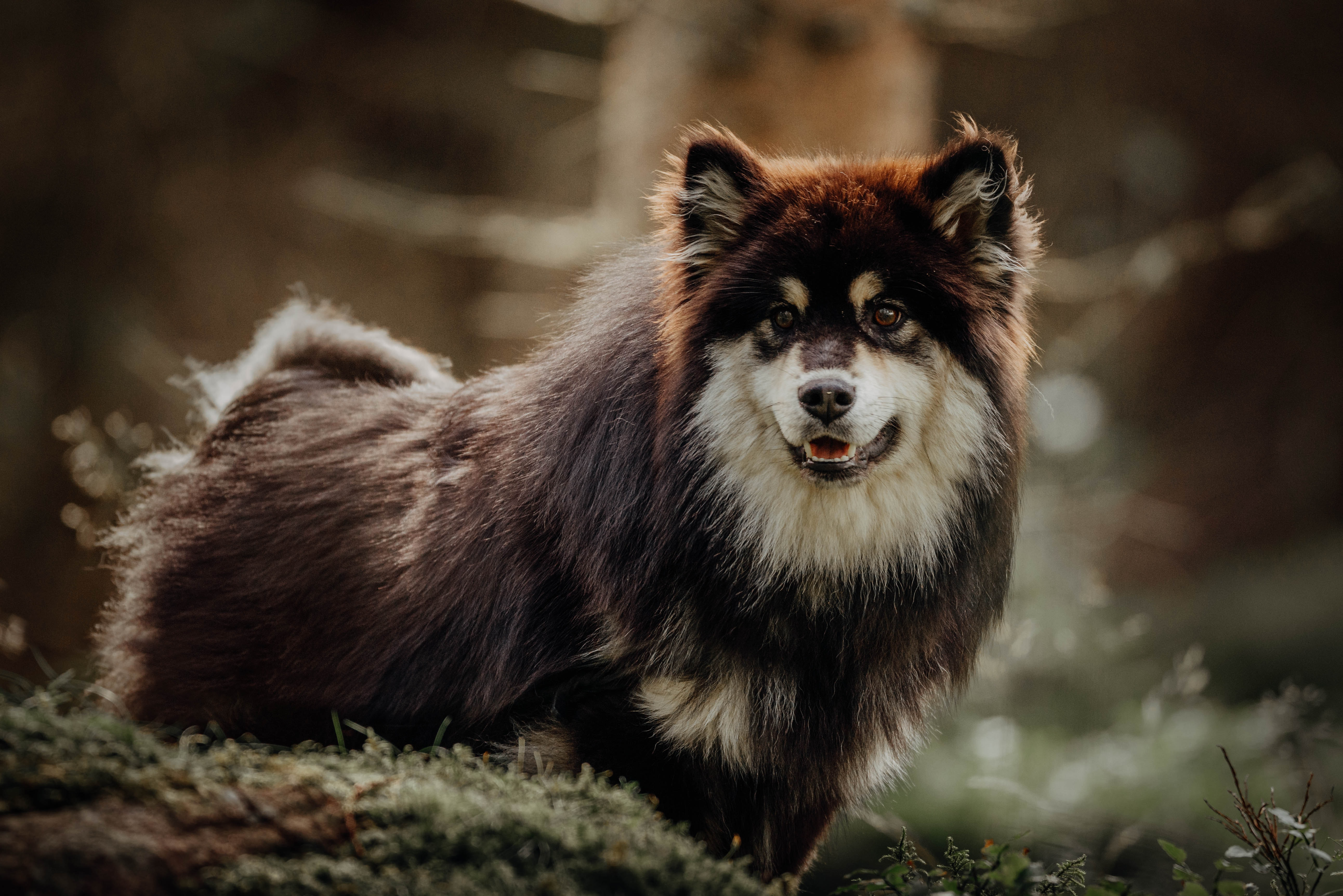 61550 download wallpaper Animals, Finnish Lapphund, Dog, Pet, Funny screensavers and pictures for free