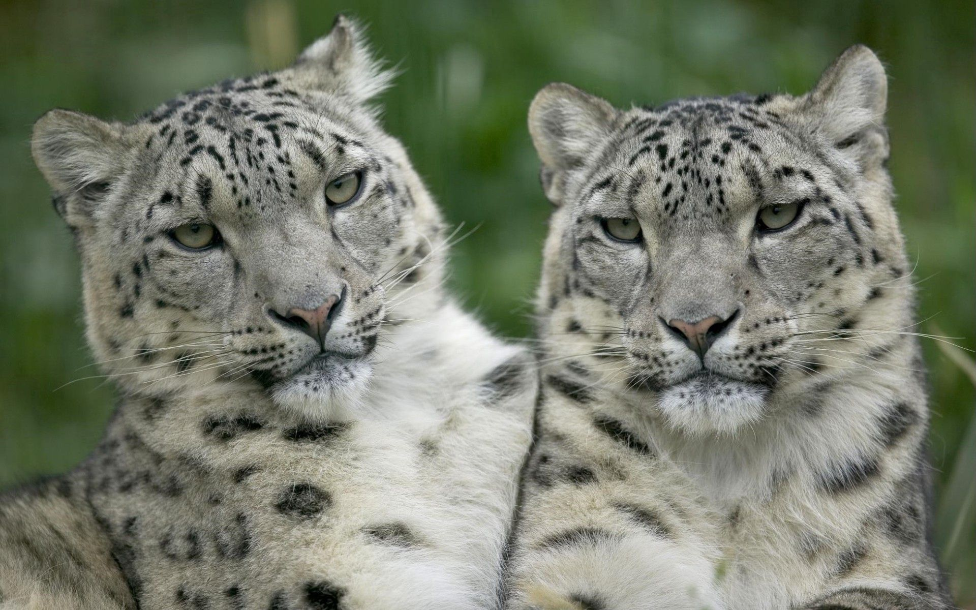 84813 download wallpaper Animals, Leopard, Couple, Pair, Sight, Opinion, Big Cat, Predators screensavers and pictures for free