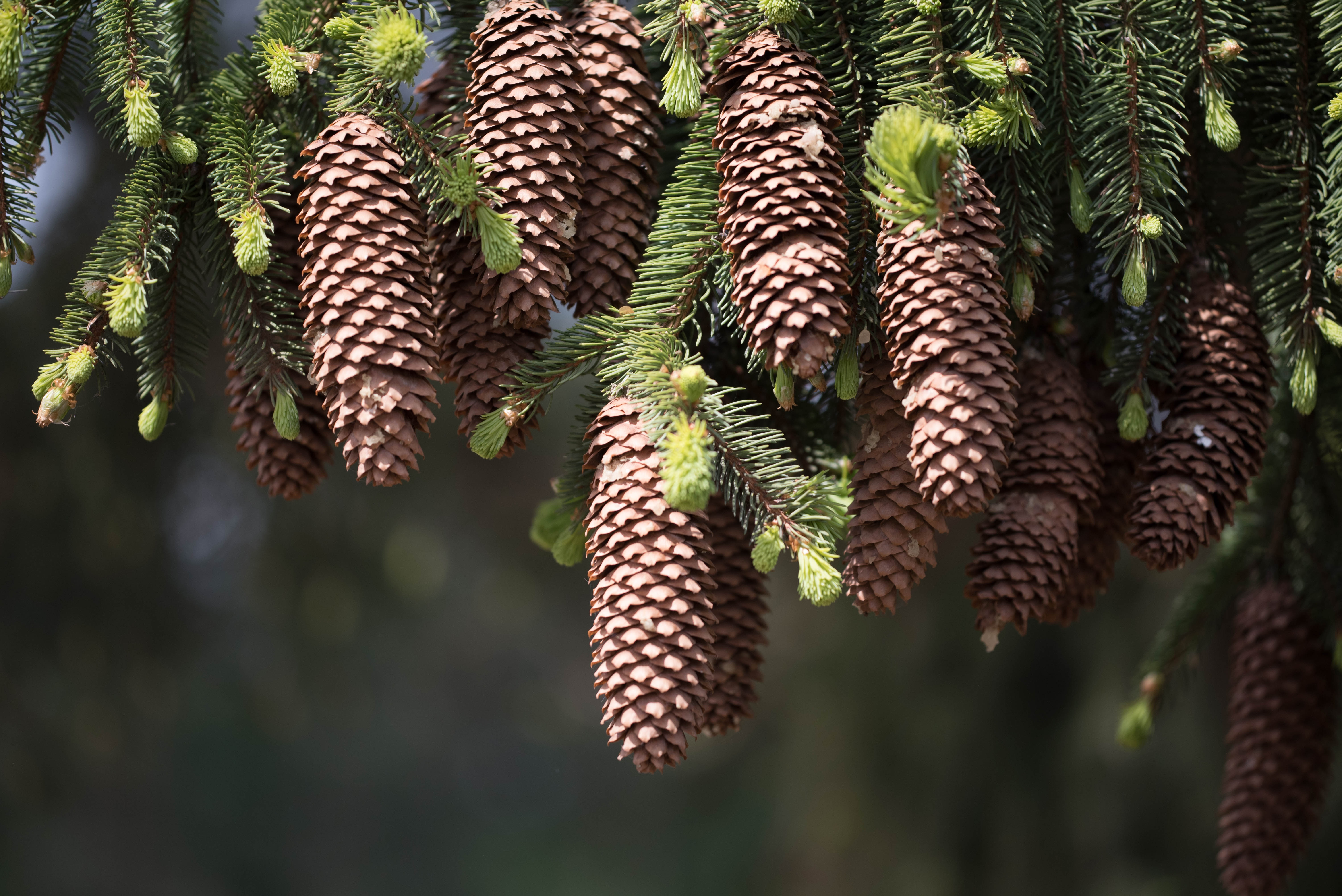 89950 Screensavers and Wallpapers Spruce for phone. Download Nature, Cones, Branches, Spruce, Fir, Needles, Thorns, Prickles pictures for free