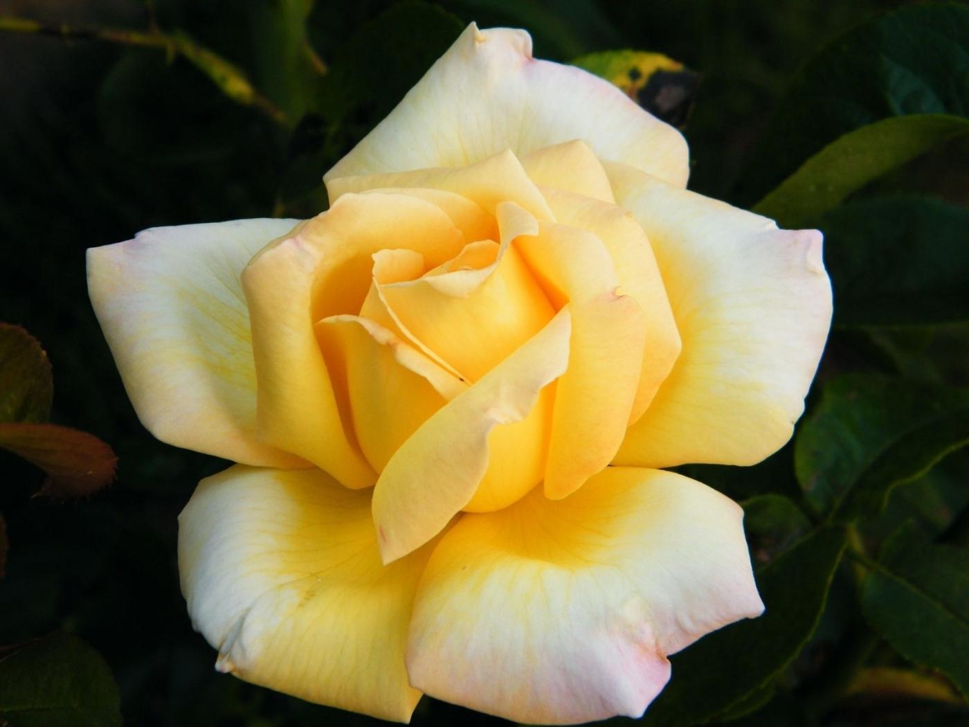 26048 скачать обои Растения, Цветы, Розы - заставки и картинки бесплатно