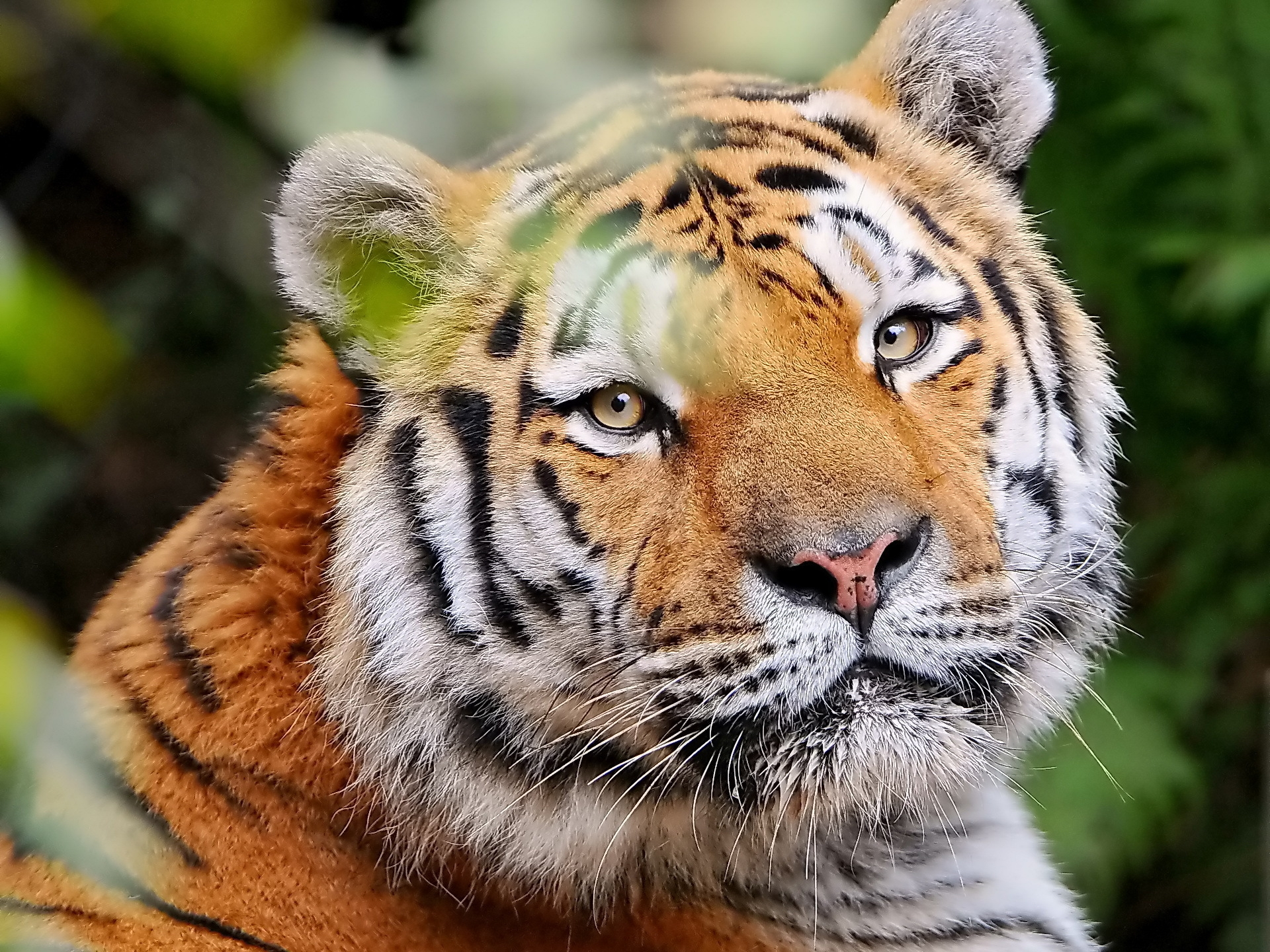140731 download wallpaper Animals, Tiger, Muzzle, Young, Sight, Opinion, Striped screensavers and pictures for free