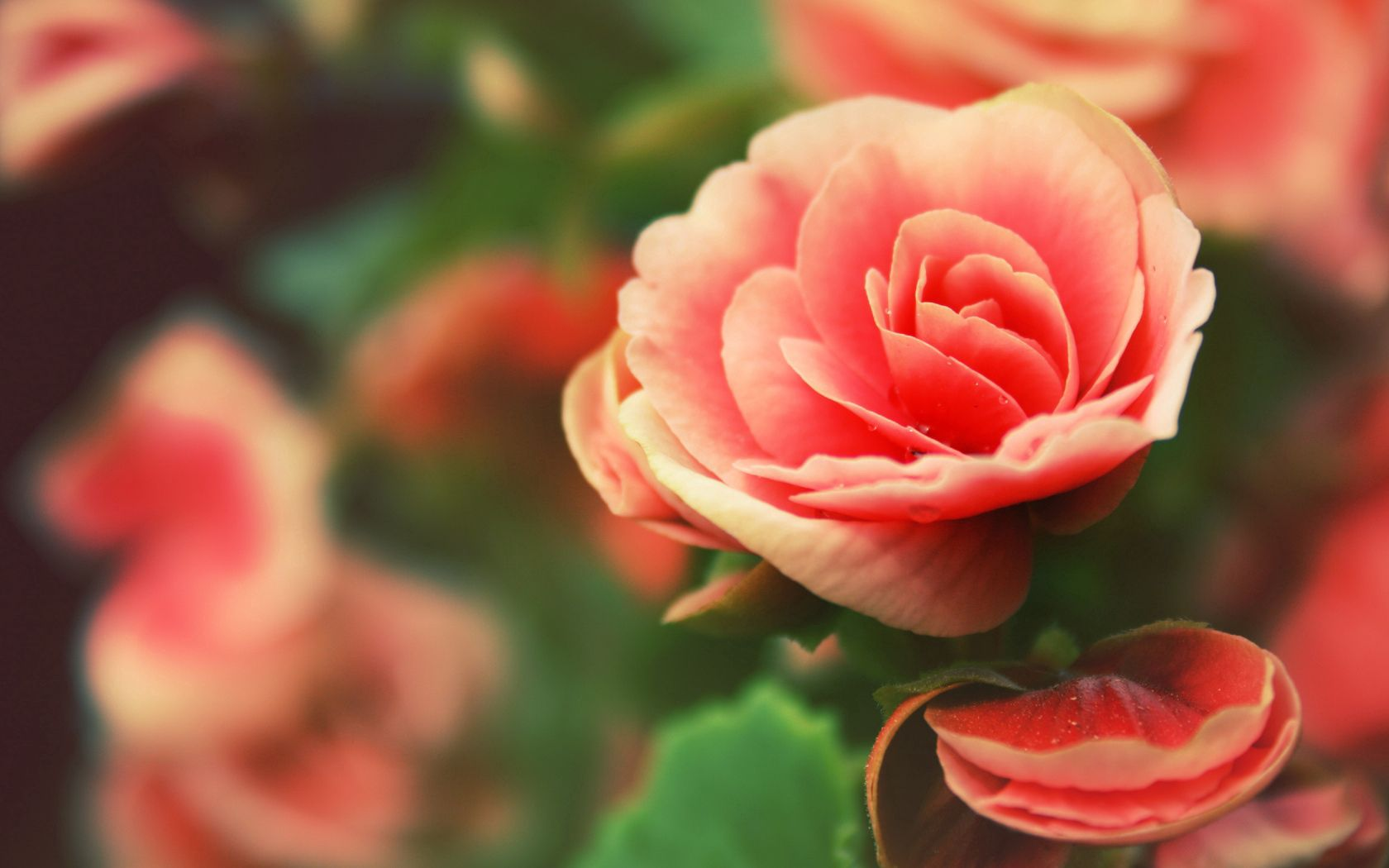 135120 download wallpaper Macro, Rose Flower, Rose, Petals, Drops, Flowers screensavers and pictures for free