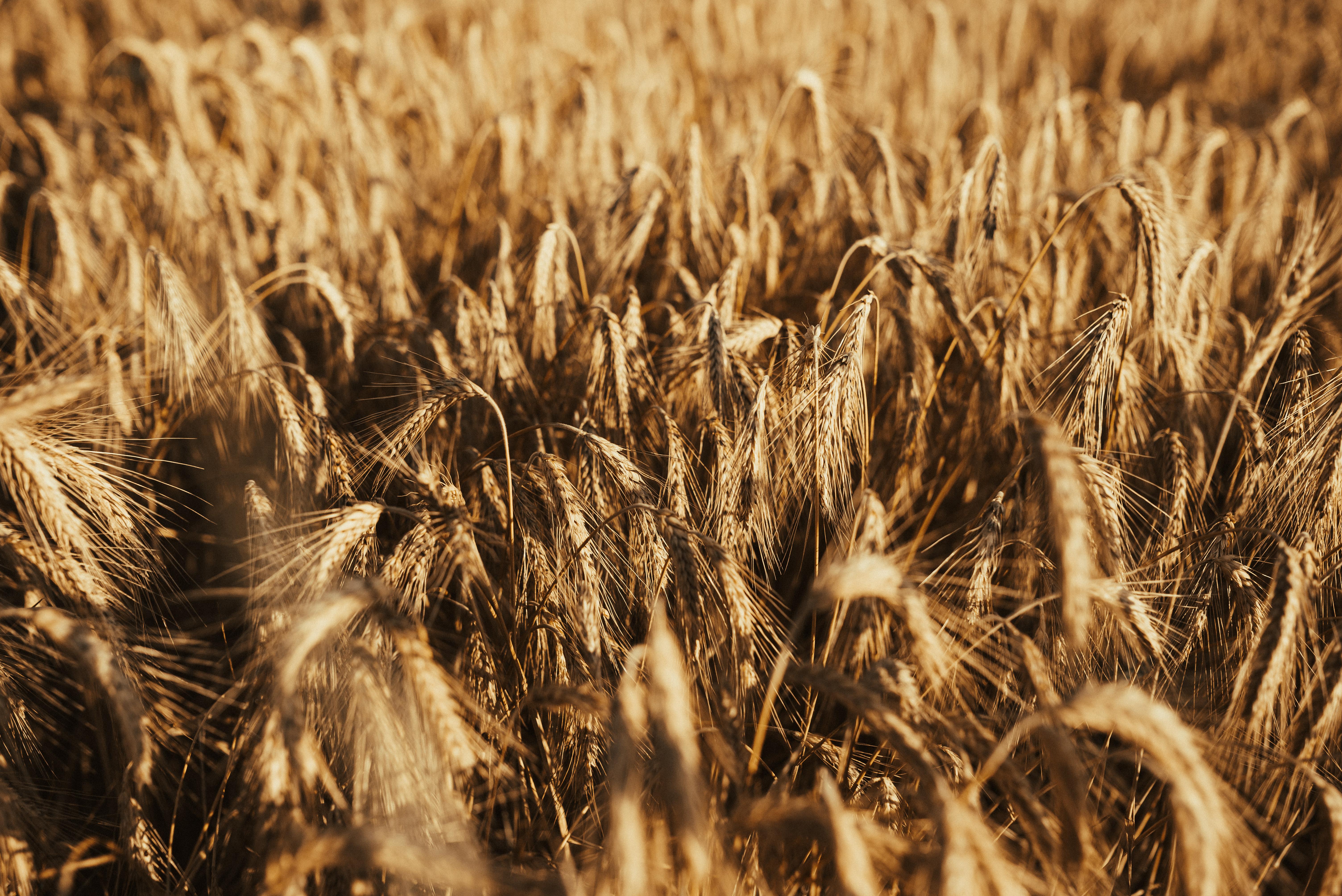 68135 скачать обои Природа, Колосья, Поле, Сухой, Пшеница - заставки и картинки бесплатно