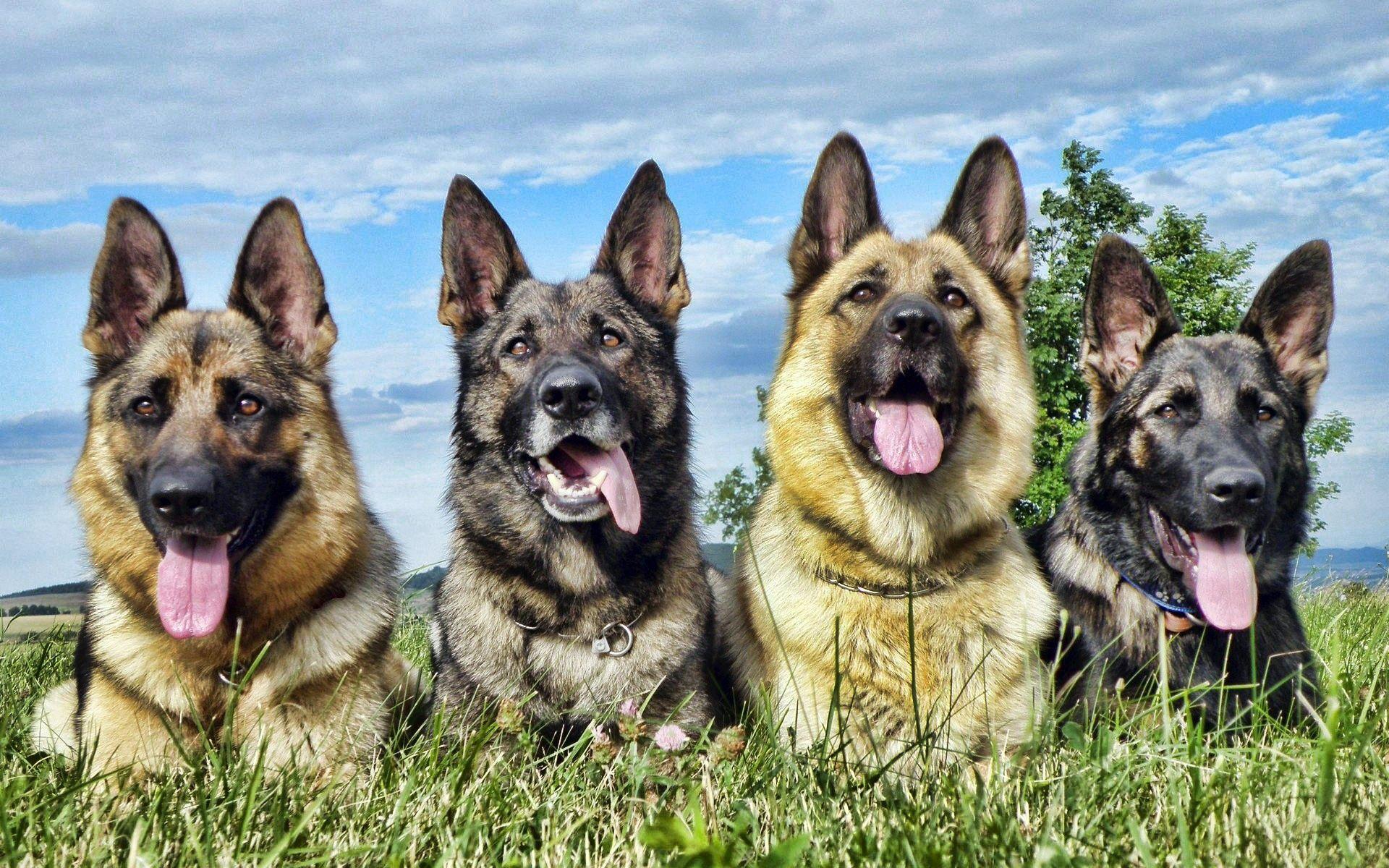 109752 скачать обои Собаки, Лежать, Животные, Трава, Овчарки - заставки и картинки бесплатно