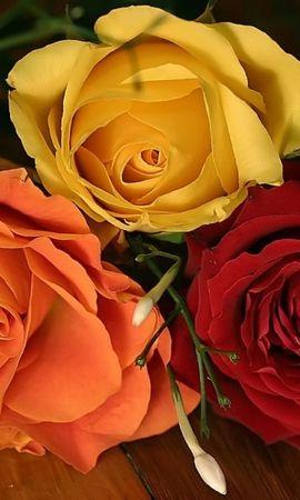 45997 descargar fondo de pantalla Plantas, Flores, Roses: protectores de pantalla e imágenes gratis