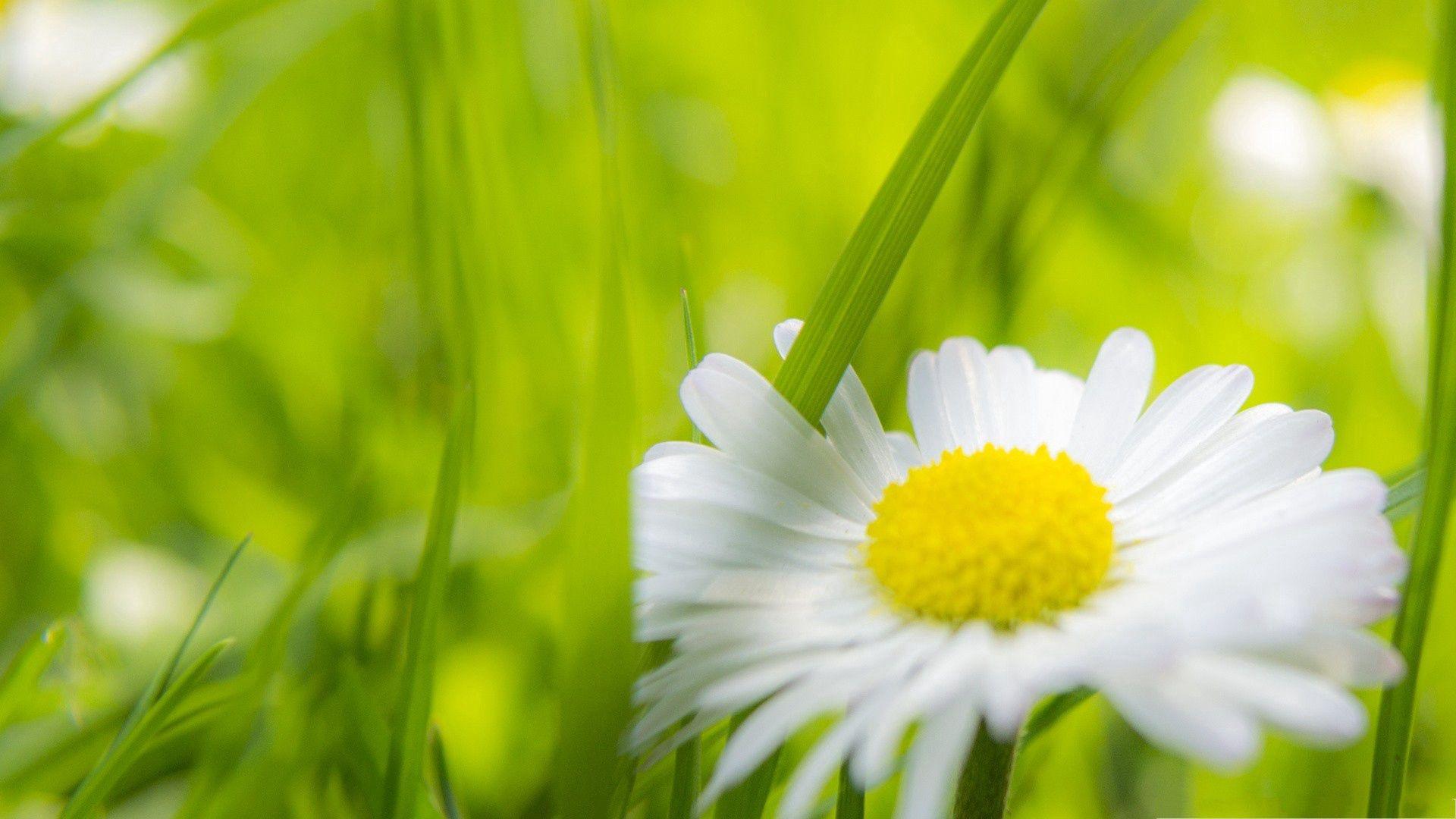 130473 скачать обои Цветок, Трава, Макро, Ромашка - заставки и картинки бесплатно