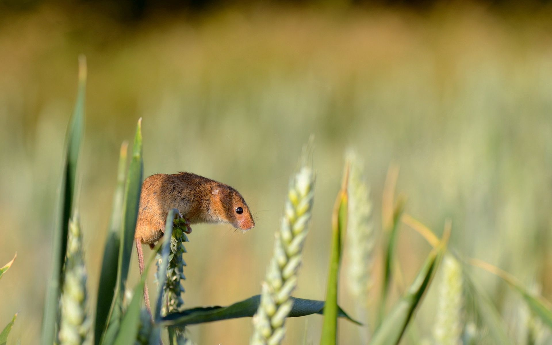 140667 download wallpaper Animals, Harvest Mouse, Field Mouse, Ear, Grass, Rodent screensavers and pictures for free