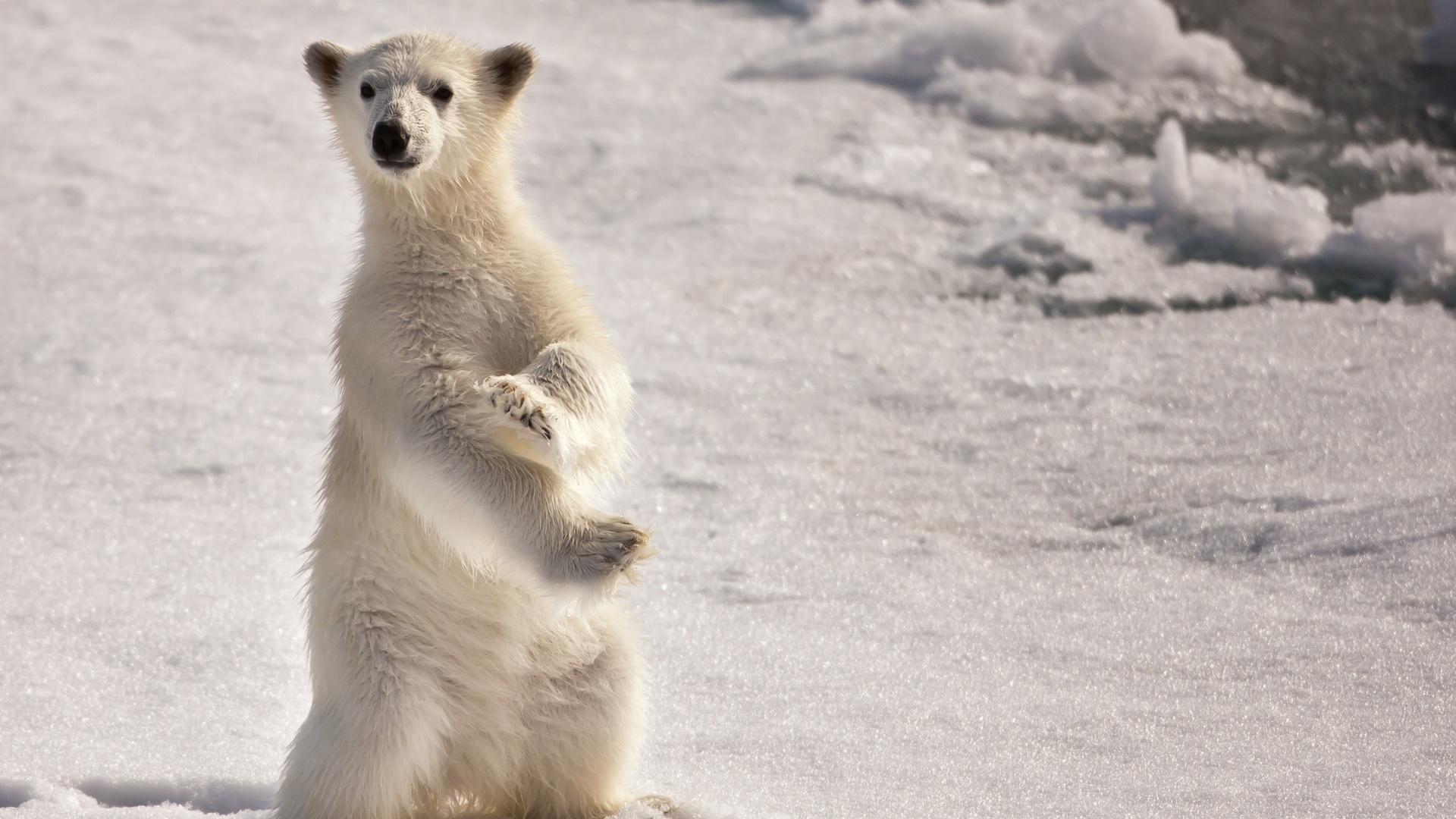 38274 download wallpaper Animals, Bears screensavers and pictures for free